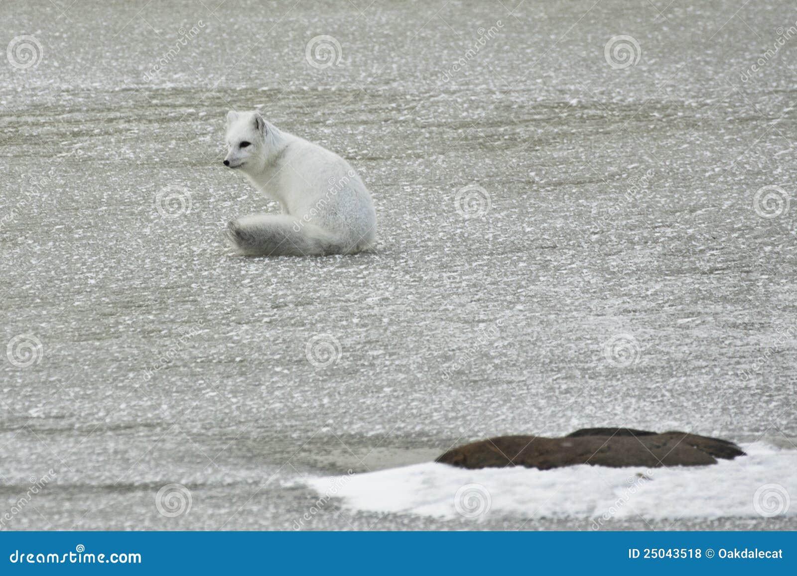 White Arctic Fox Sitting on Ice