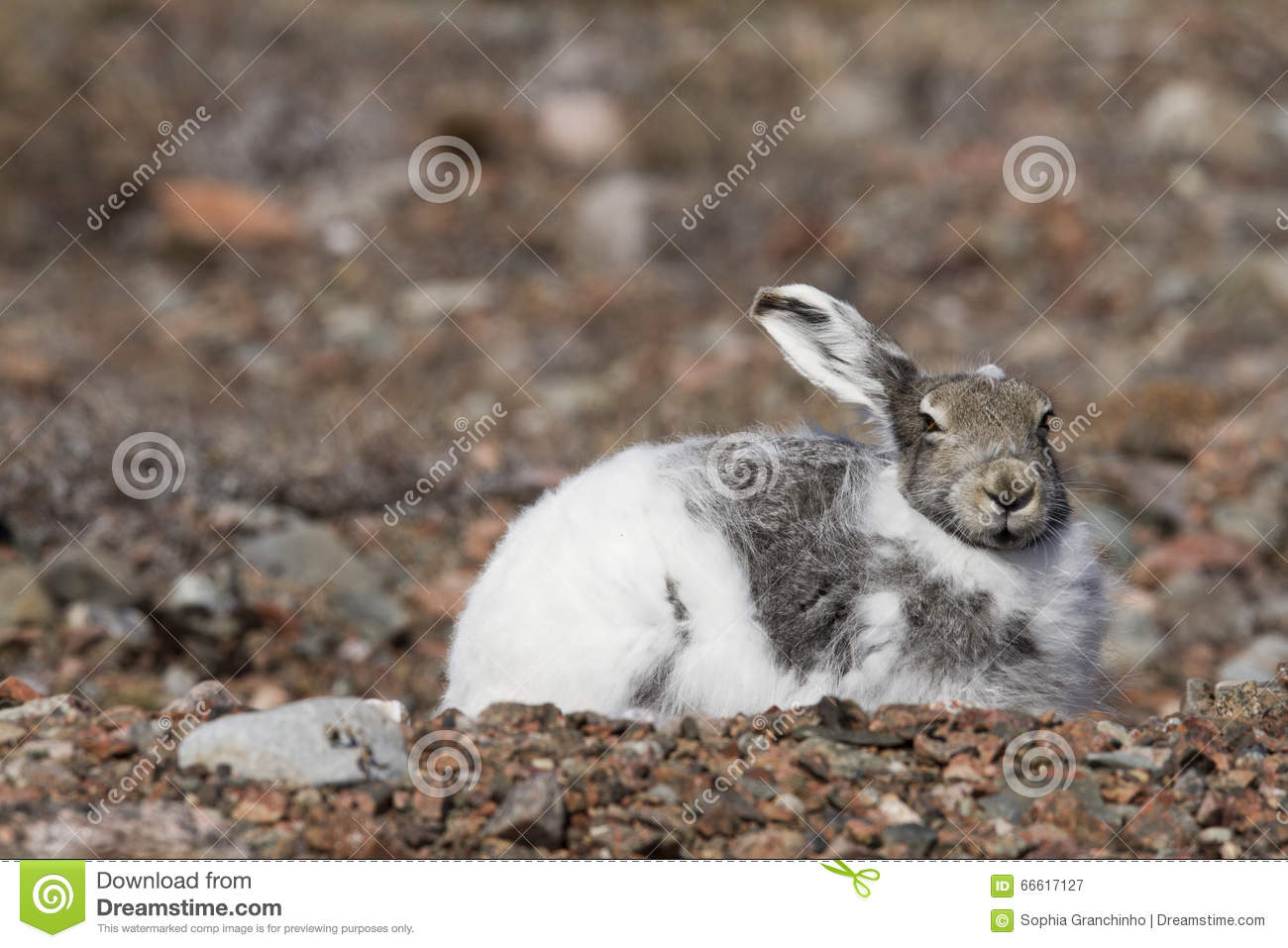 Arctic hare with pointy ears