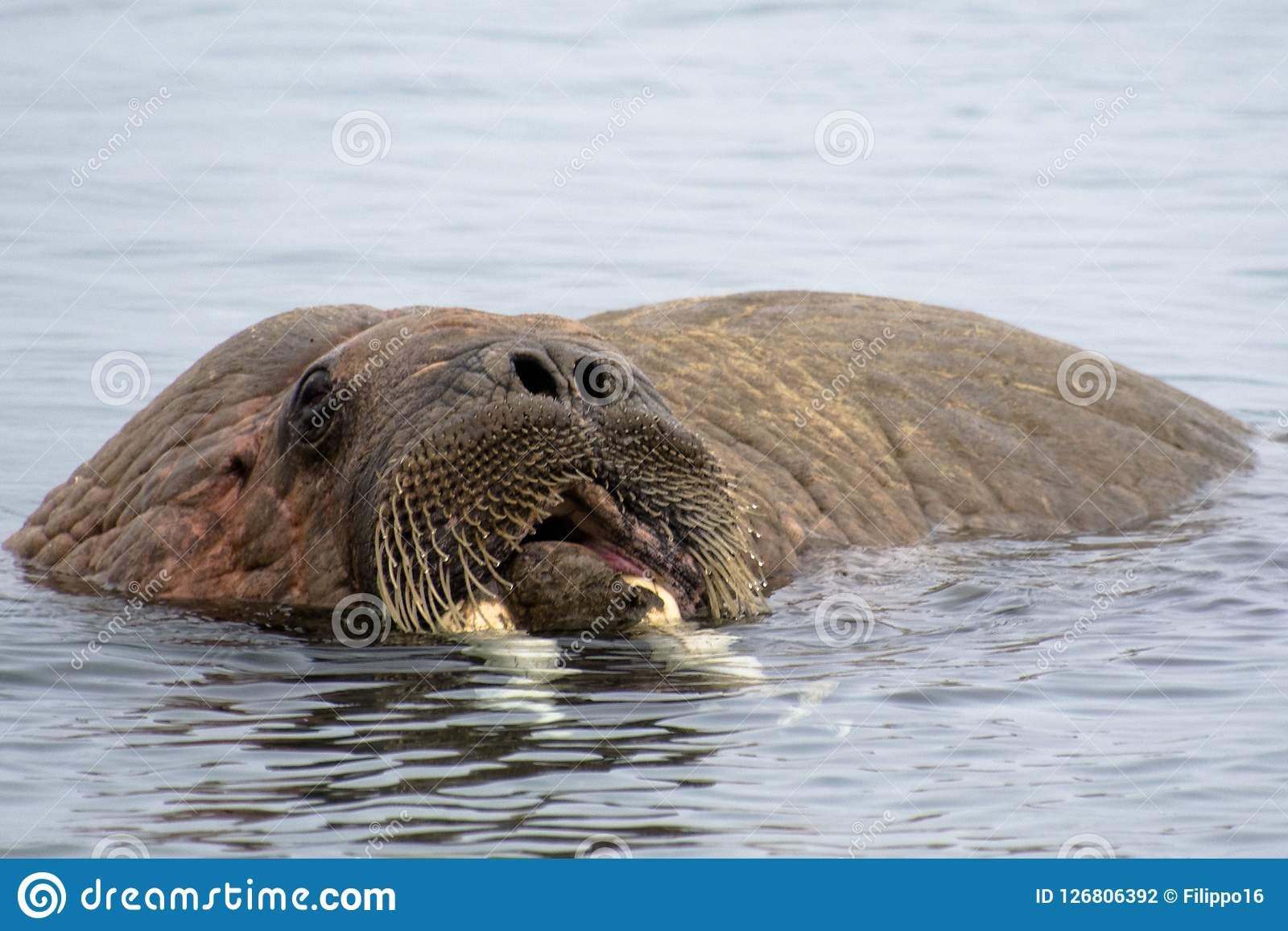 Arctic Island of Svalbard Norway, Walrus in the cold Water of the Arctic Ocean