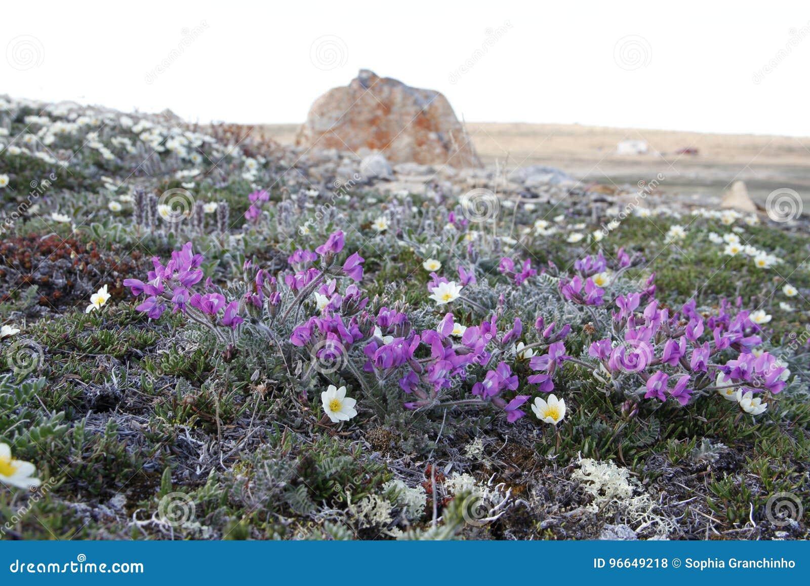 Arctic Oxytrope Oxytropis arctic in full bloom