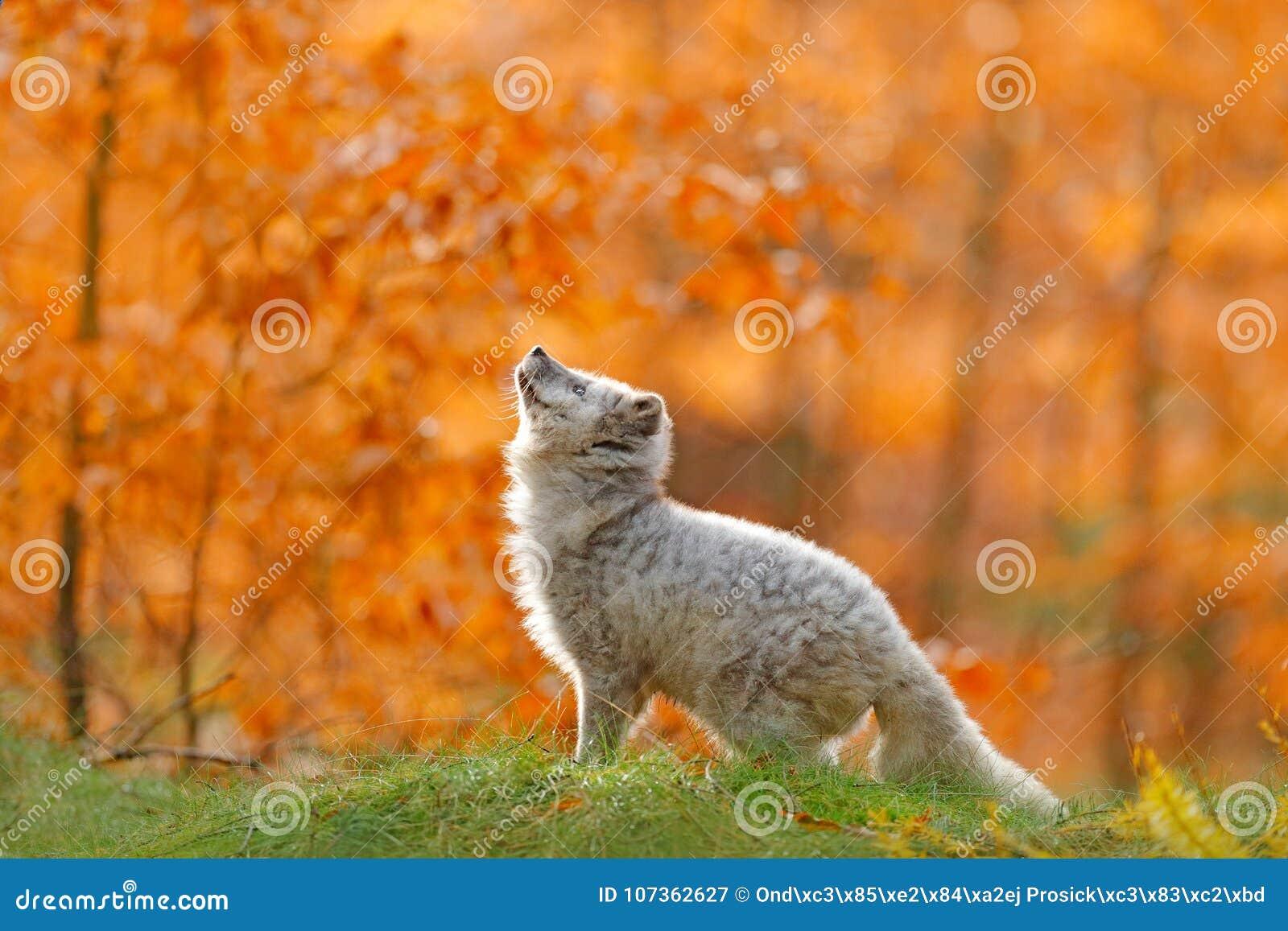 Arctic polar fox running in orange autumn leaves. Cute Fox, fall forest. Beautiful animal in the nature habitat. Orange fox, detai