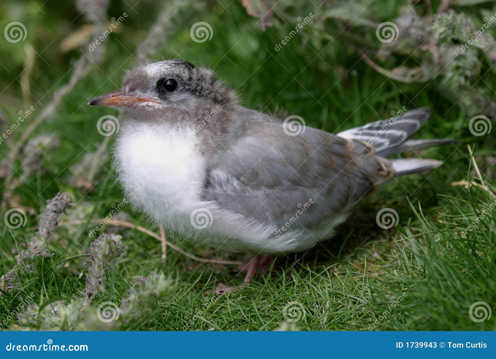 Arctic Tern Chick (sterna paradisea)
