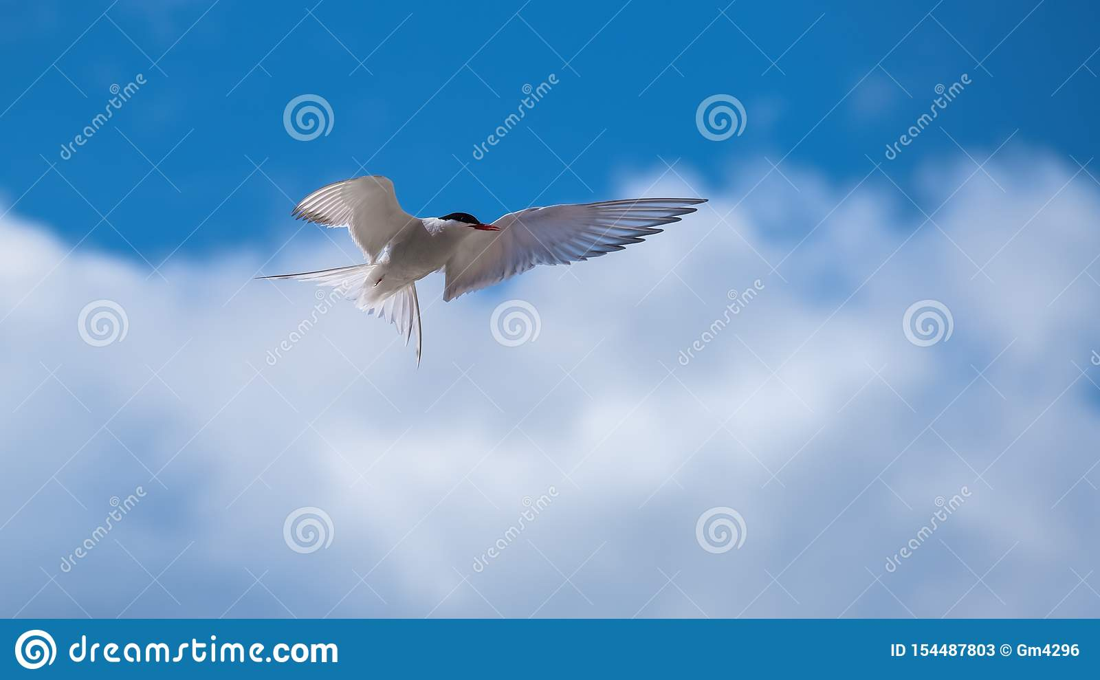 Arctic tern showing his plumage and wings
