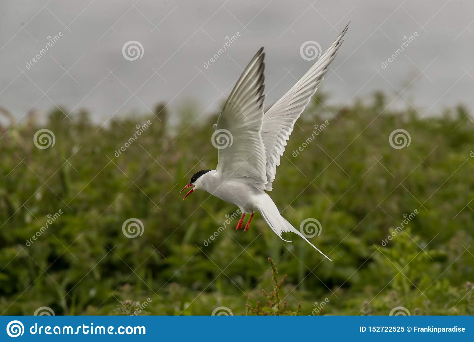 Arctic Tern Sterna Paradisea Farne