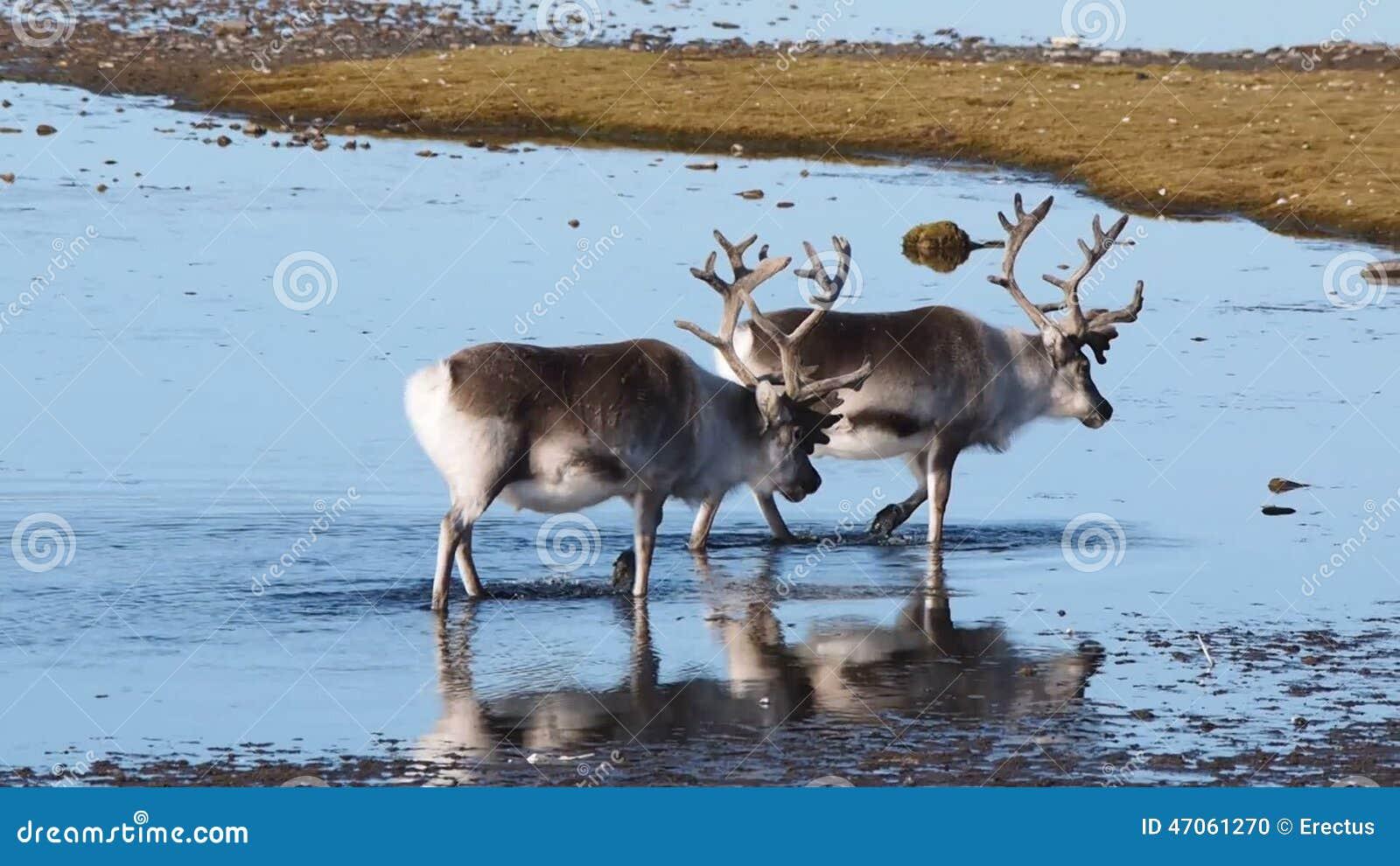reindeer habitat images reverse search