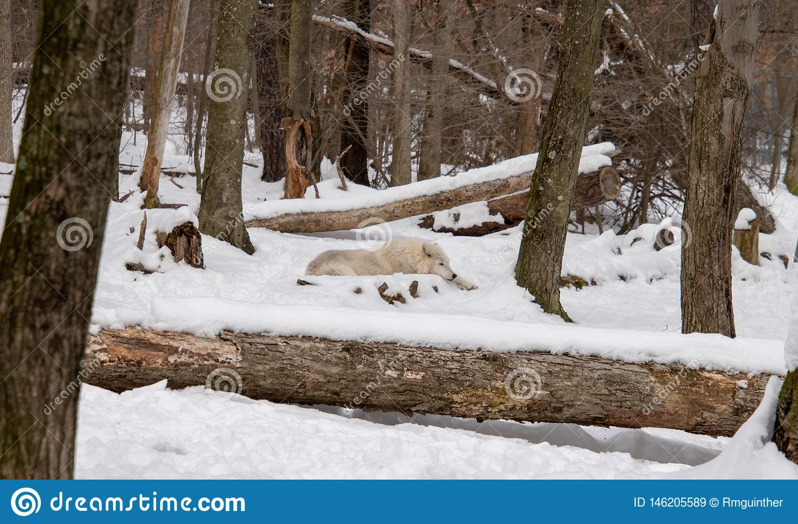 An Arctic Wolf laying in the snowy forest