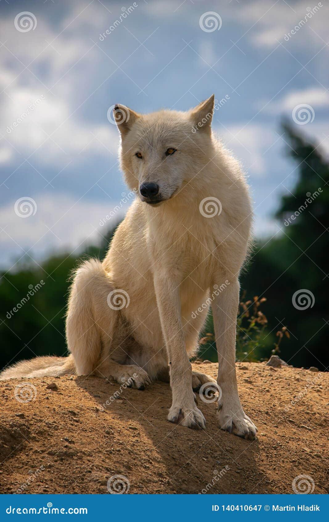 Arctic wolf, mammal, postrait, dog