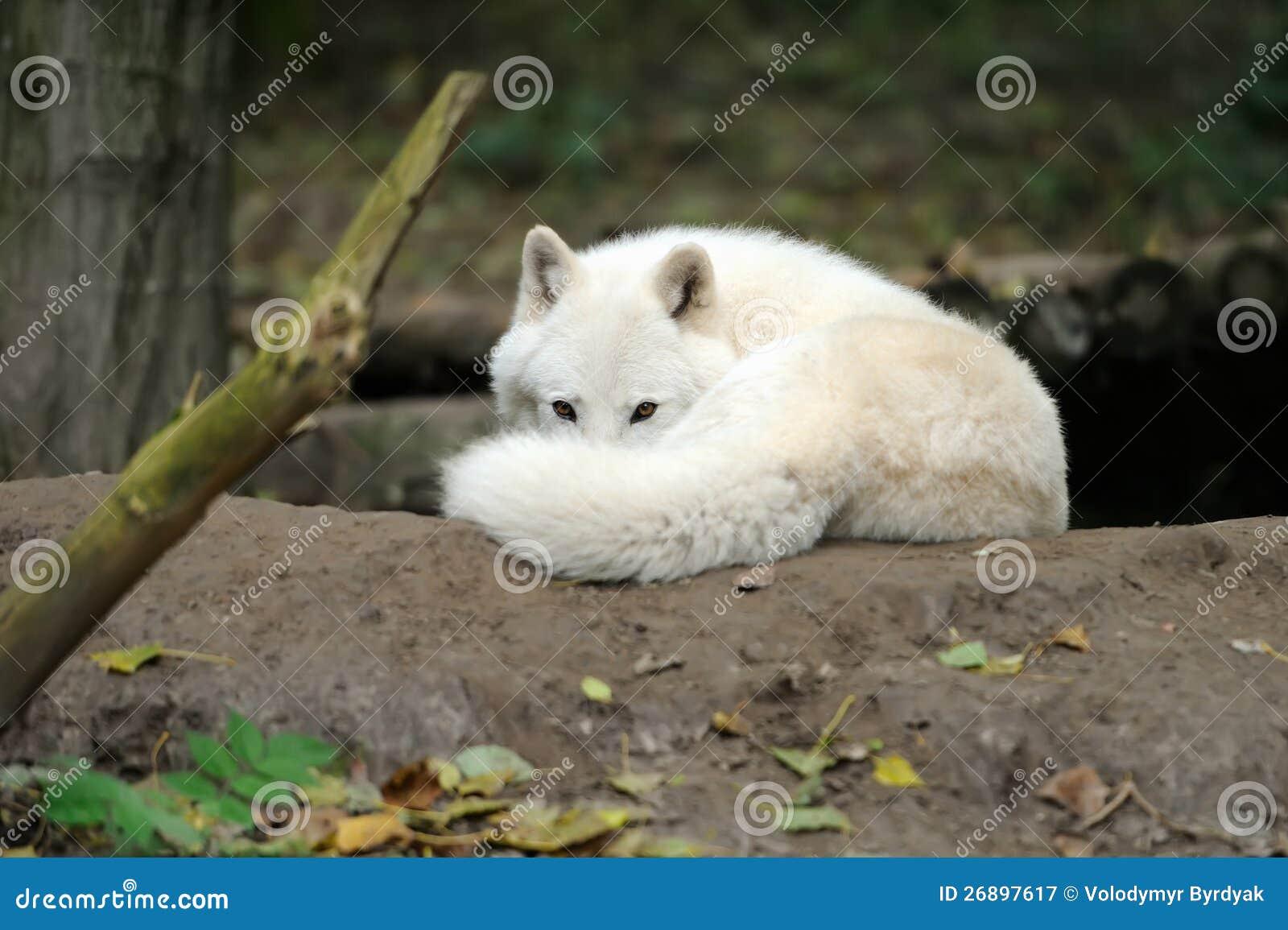 arctic wolf puppy royalty free stock photography image Cartoon Arctic Animals Polar Bear Clip Art