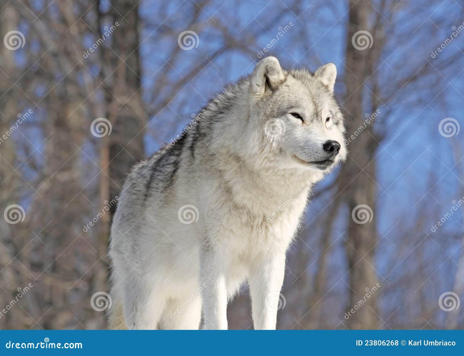 Arctic Wolf #8