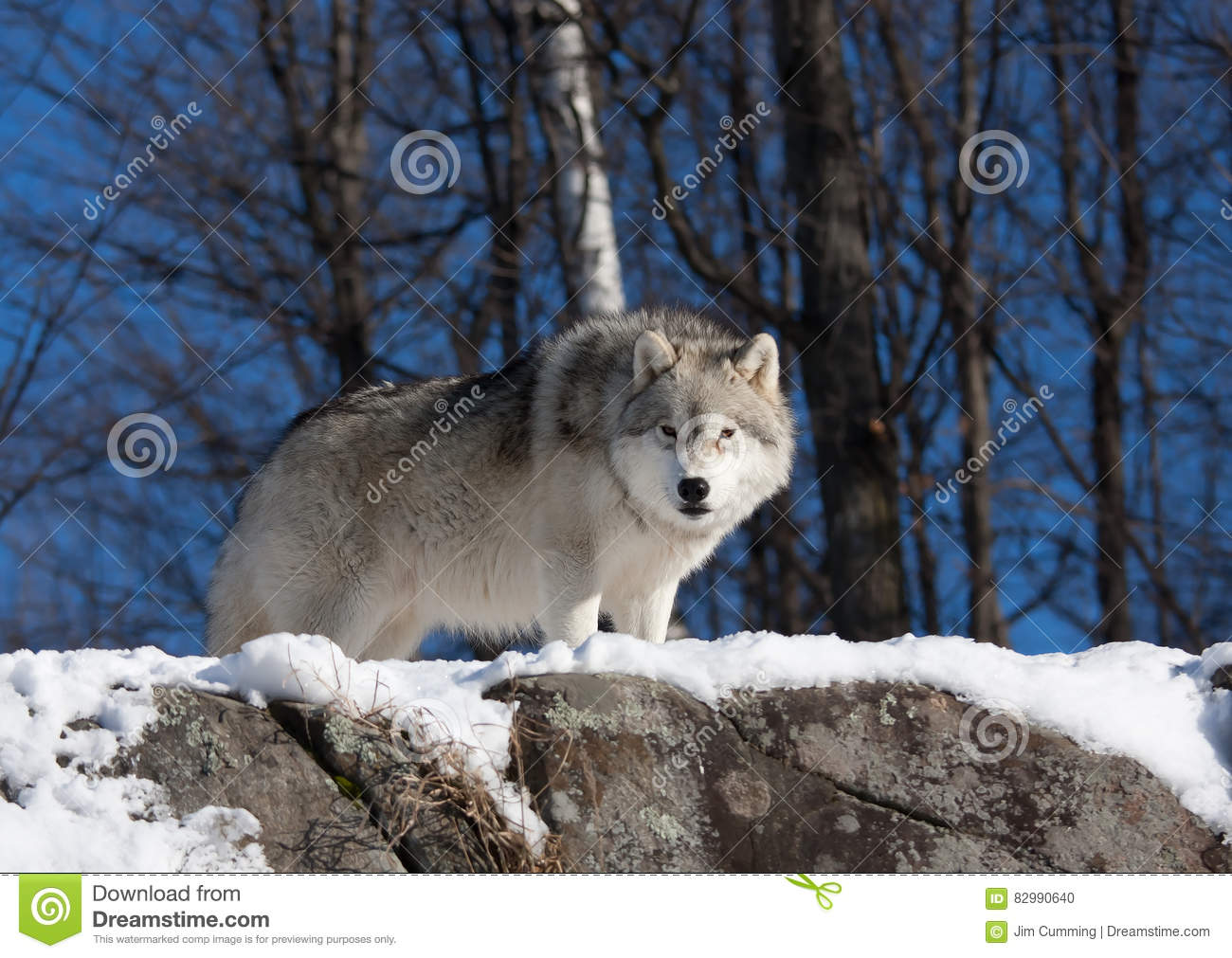 da55dec123b6a6 A lone Arctic wolf (Canis lupus arctos) walking through the snow in winter  in