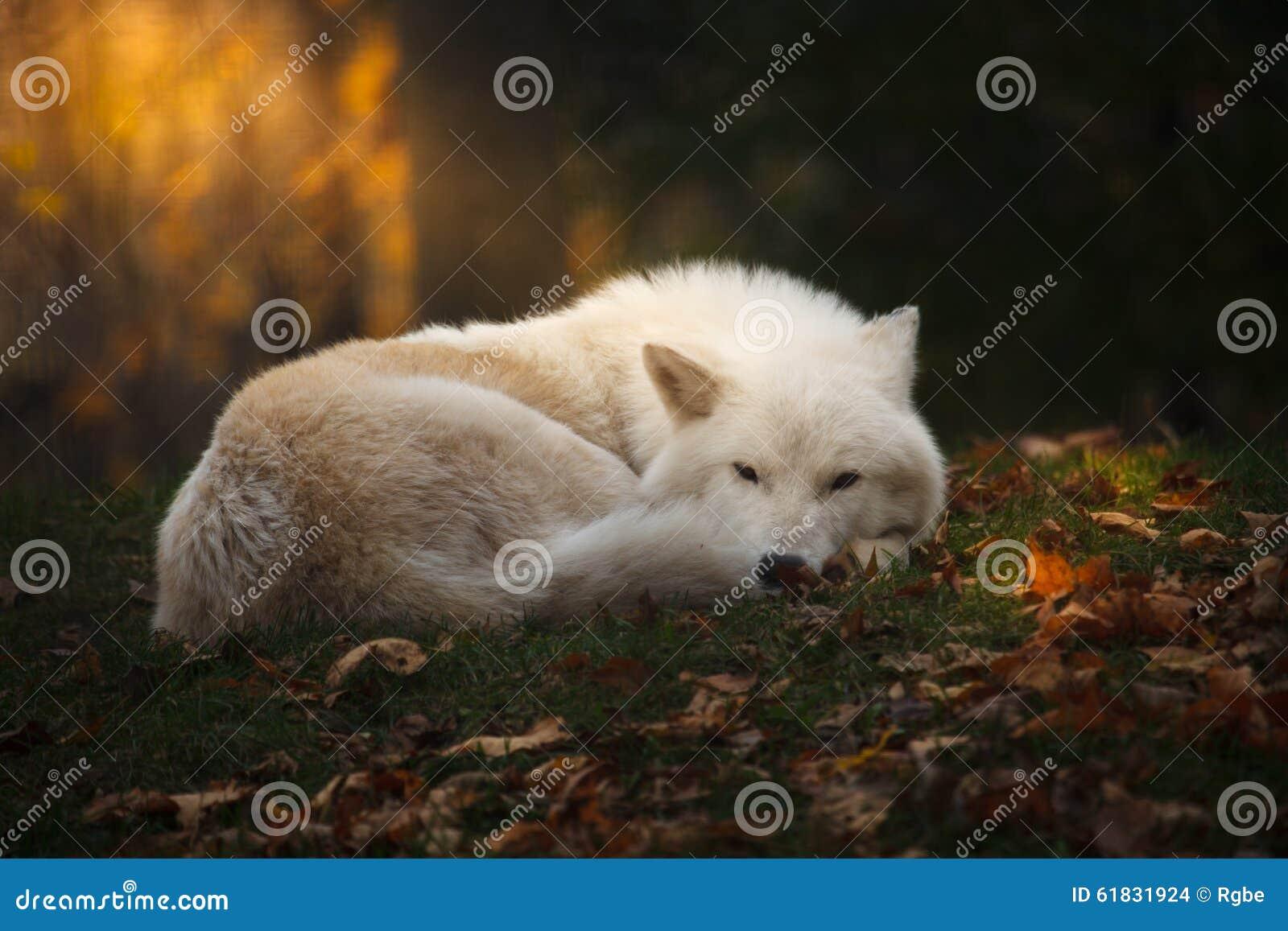 Arctic Wolf Stock Phot...