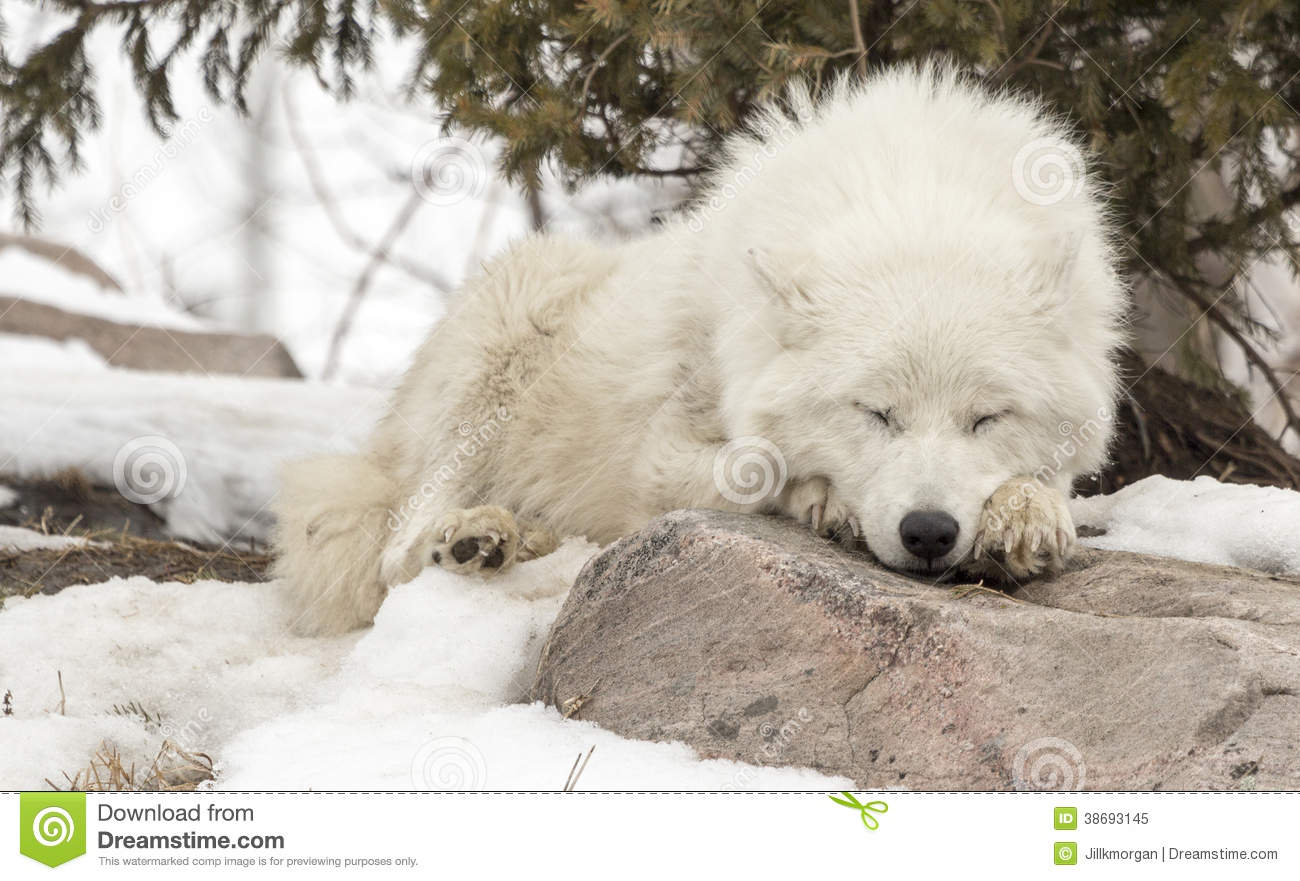 arctic wolf sleeping on rock in snow royalty free stock