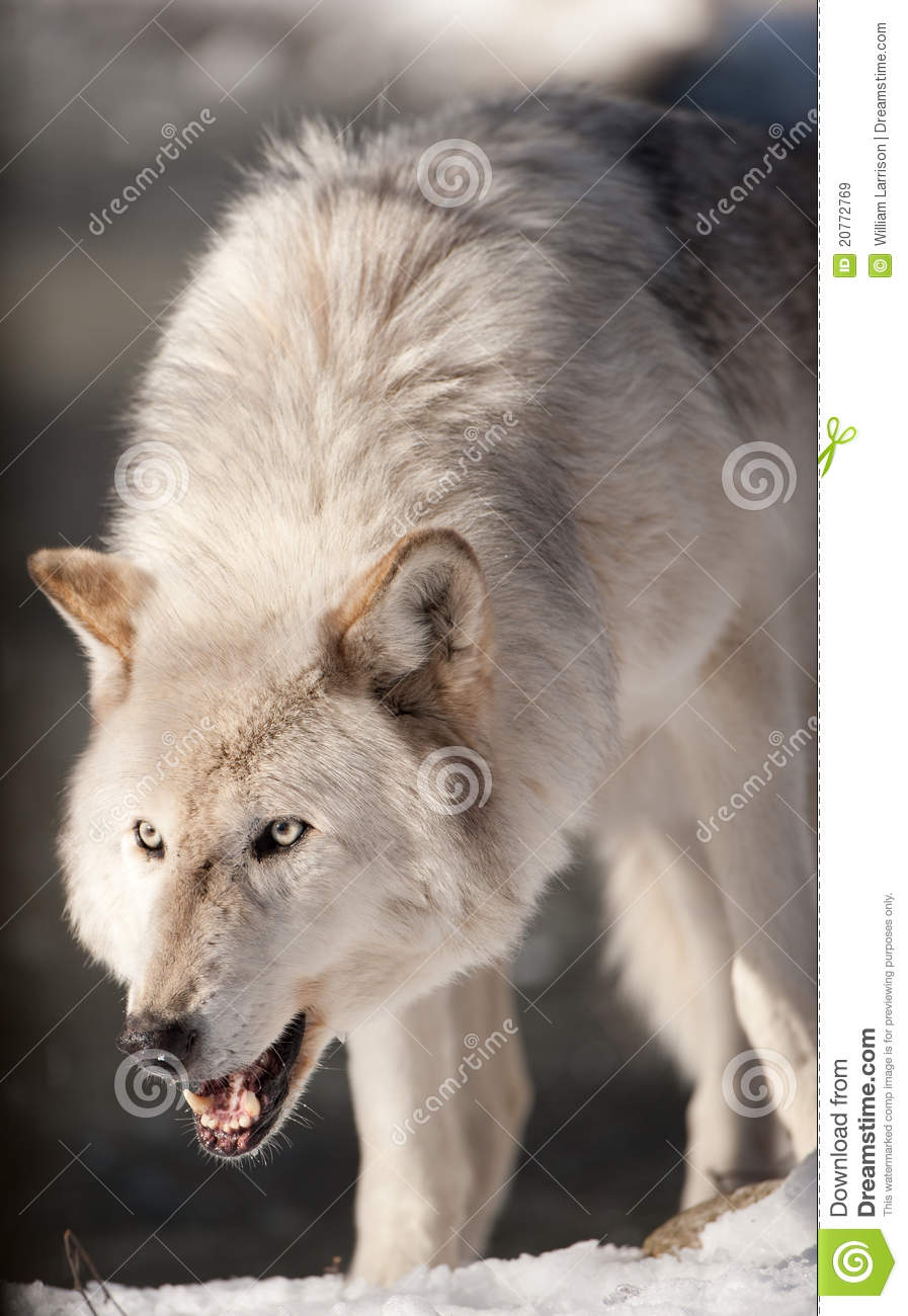 Arctic Wolf Snarling stock image. Image of mammal, looking ...