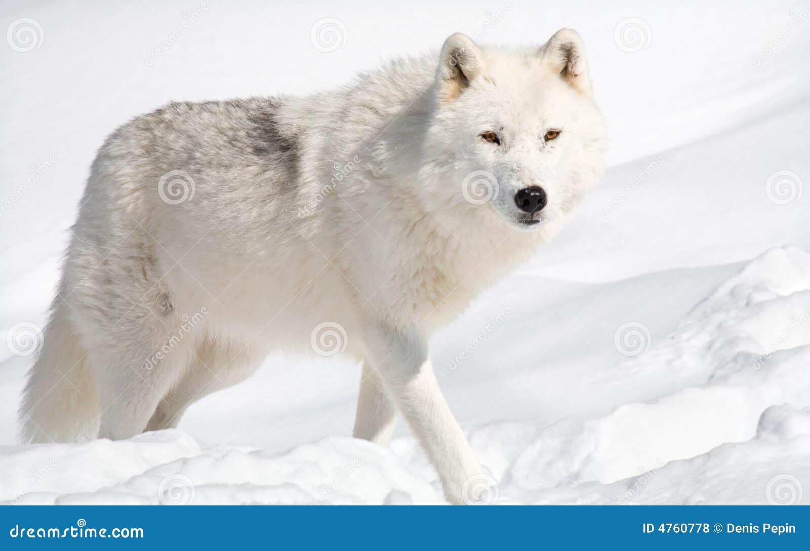 Arctic wolf in snow - photo#18