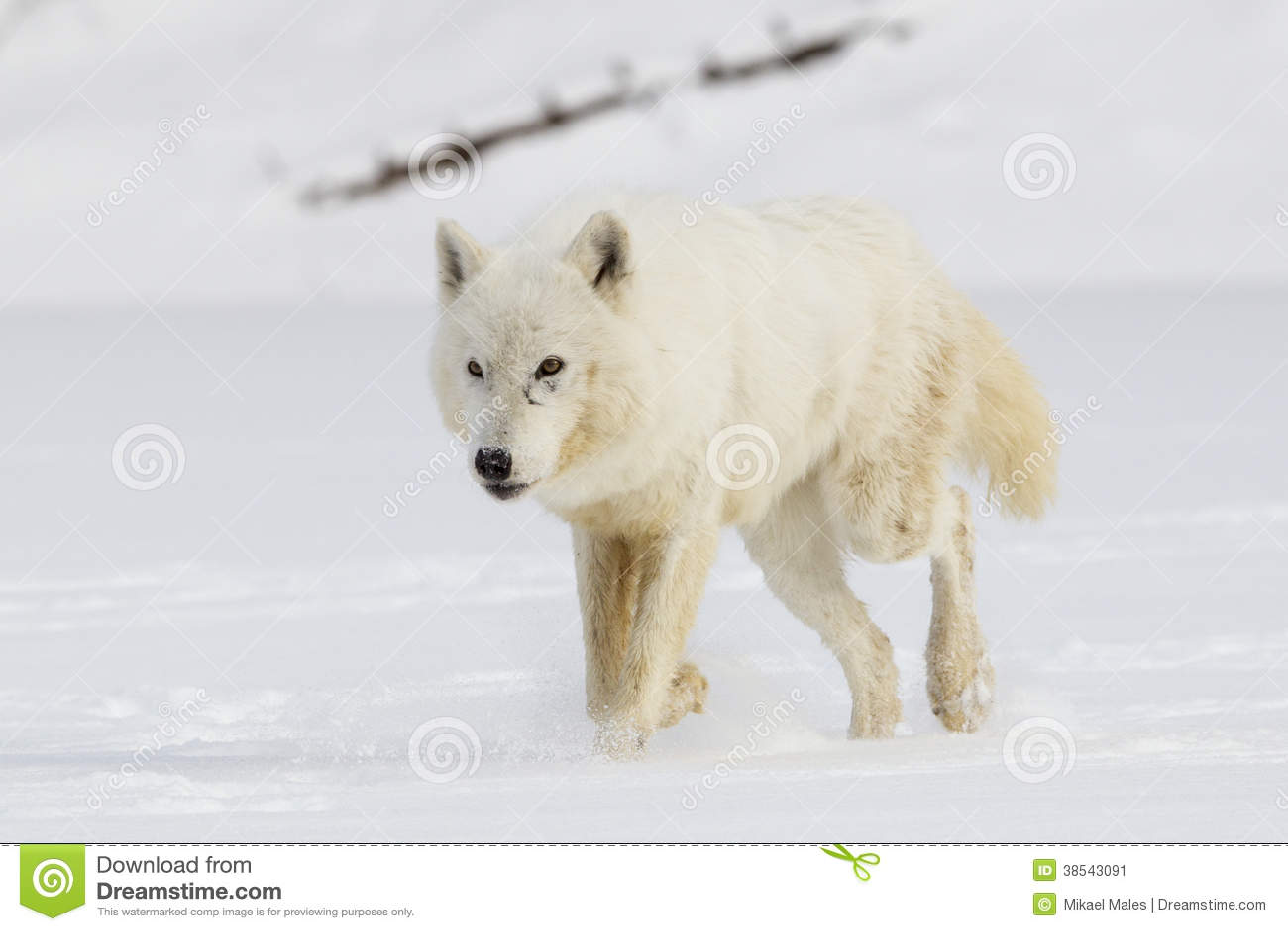 Arctic wolf in snow - photo#25