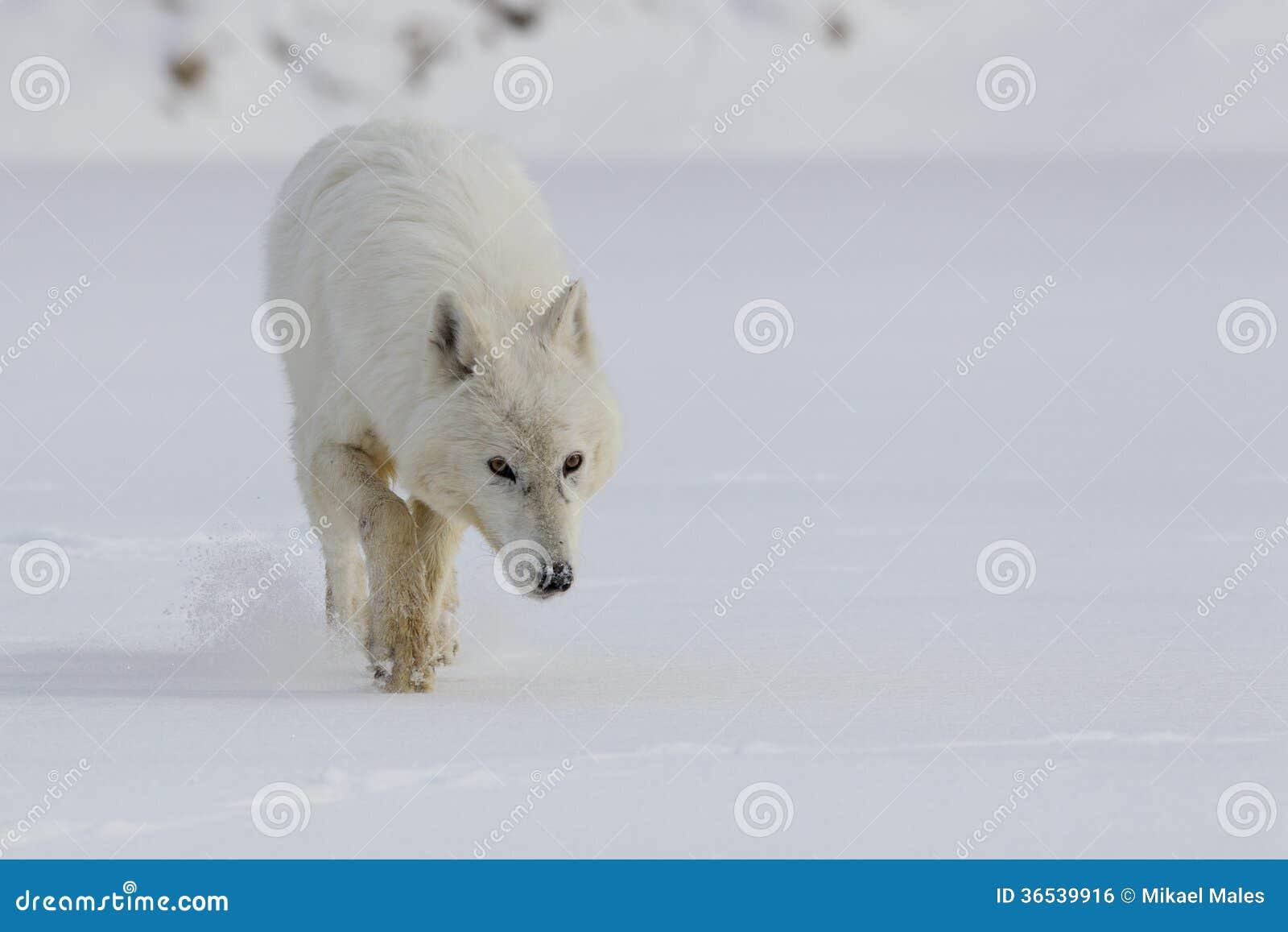 Arctic wolf in snow - photo#21