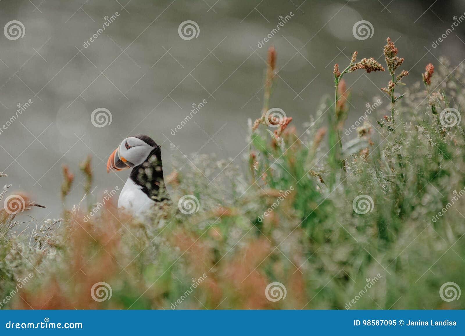Arctica do Fratercula do papagaio-do-mar atlântico perto de Dyrholaey em Islândia