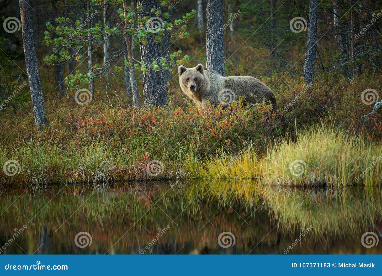 Arctos d Ursus L ours brun est le plus grand prédateur en Europe