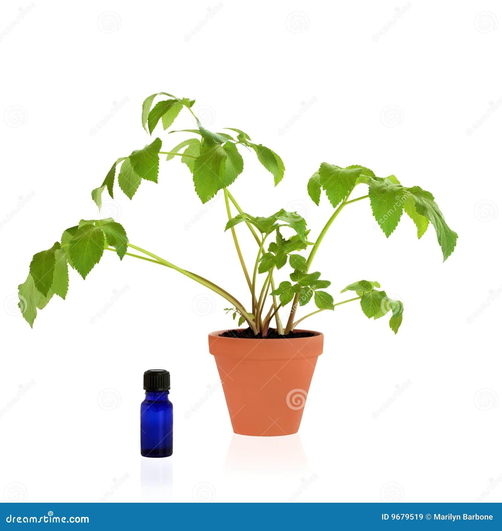 Arcydzięgielowy zielarski leczniczy