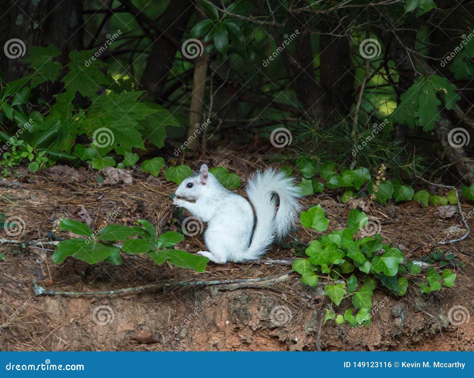 Ardilla blanca que se detiene brevemente en Forest Edge