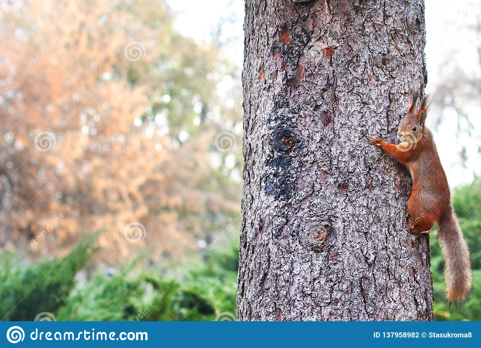 Ardilla curiosa Ardilla roja Ardilla Otoño Invierno Ardilla de Forest Beautiful