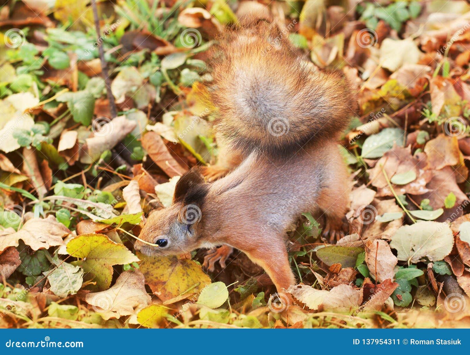 Ardilla en parque del otoño