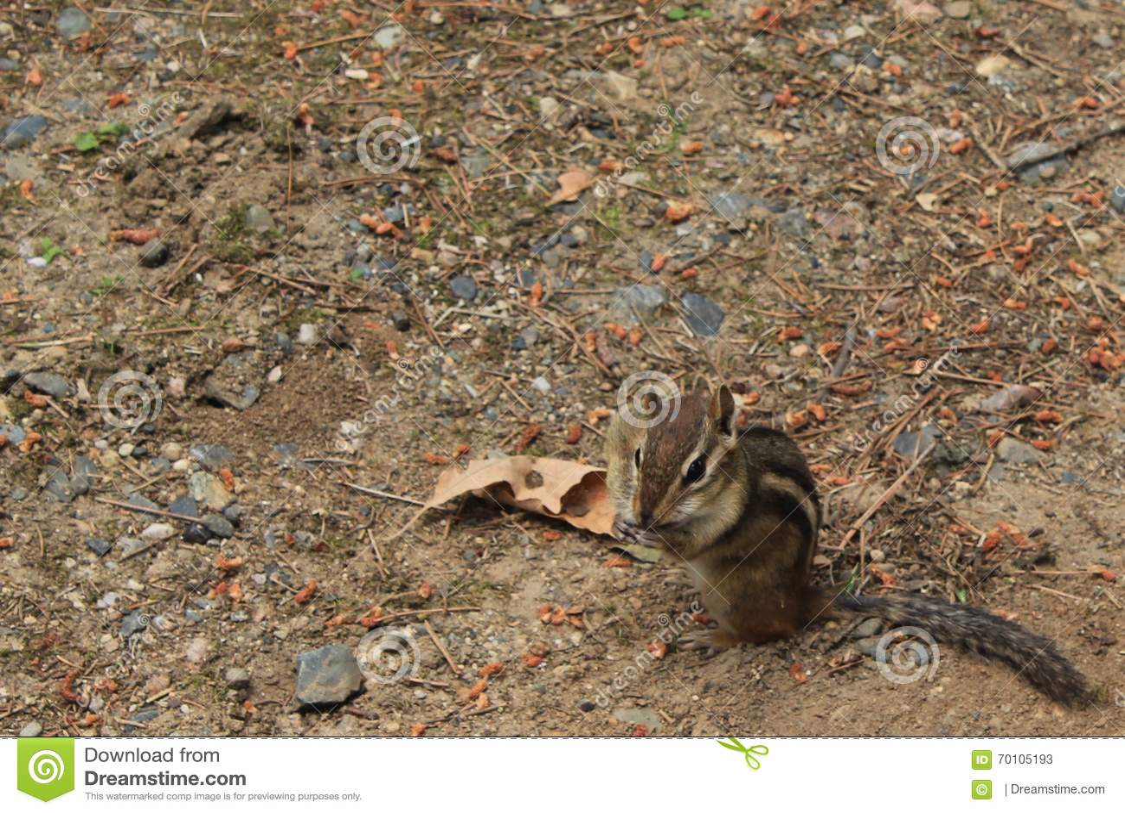 Ardilla listada con el cacahuete en su mejilla