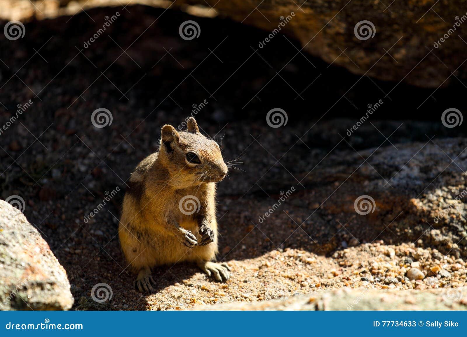 Ardilla listada en Rocky Mountain National Park