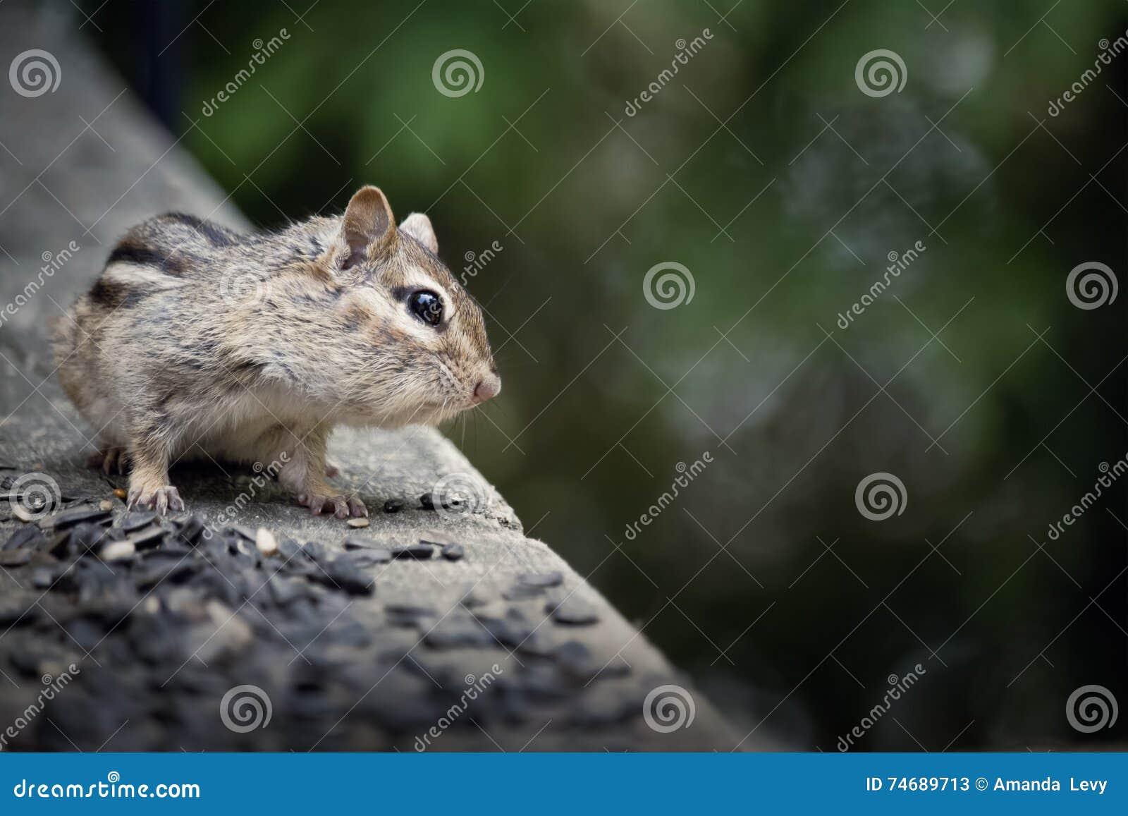Ardilla listada salvaje en una cubierta de la cabaña que come la semilla del pájaro