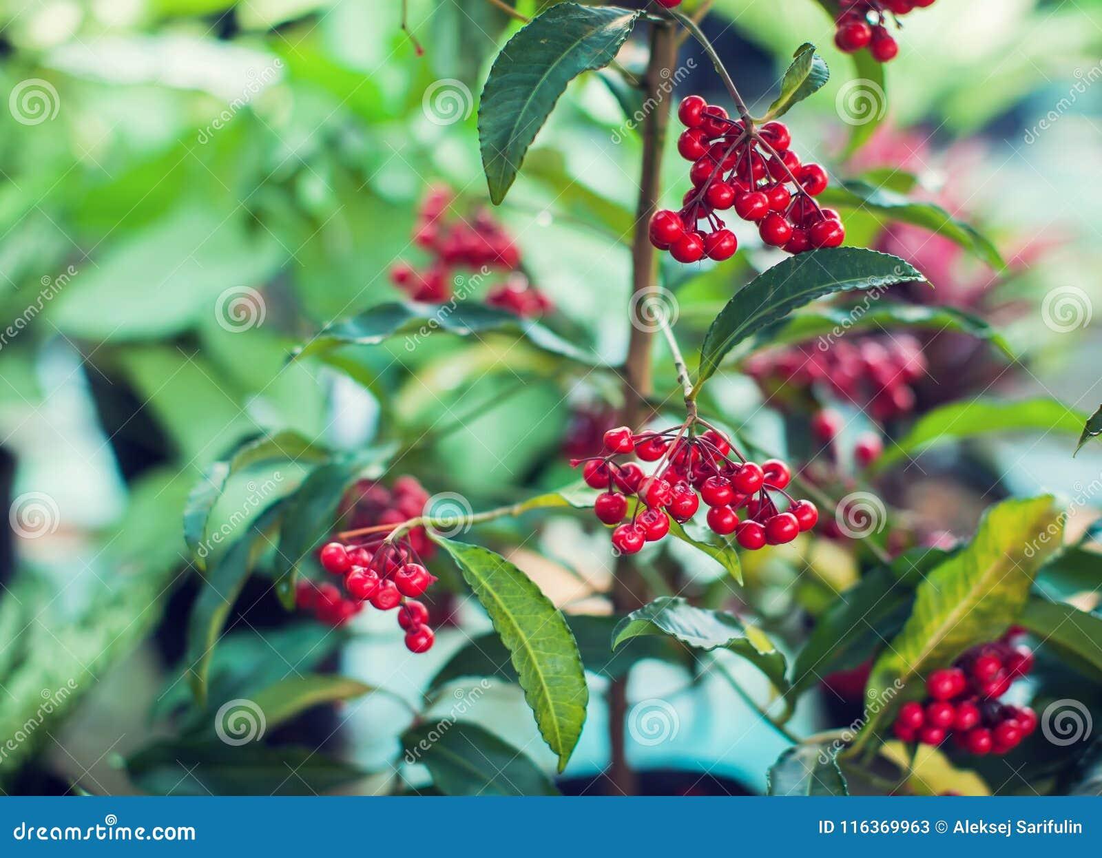 Ardisia Crenata Myrsinaceae plants small and bright red frui
