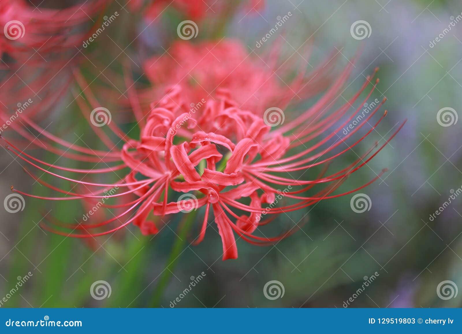 Areia vermelha de Bian Hua Higanbana Cayman do close up da flor, stramonium de Mandara do estramônio dos grânulos exterior em um