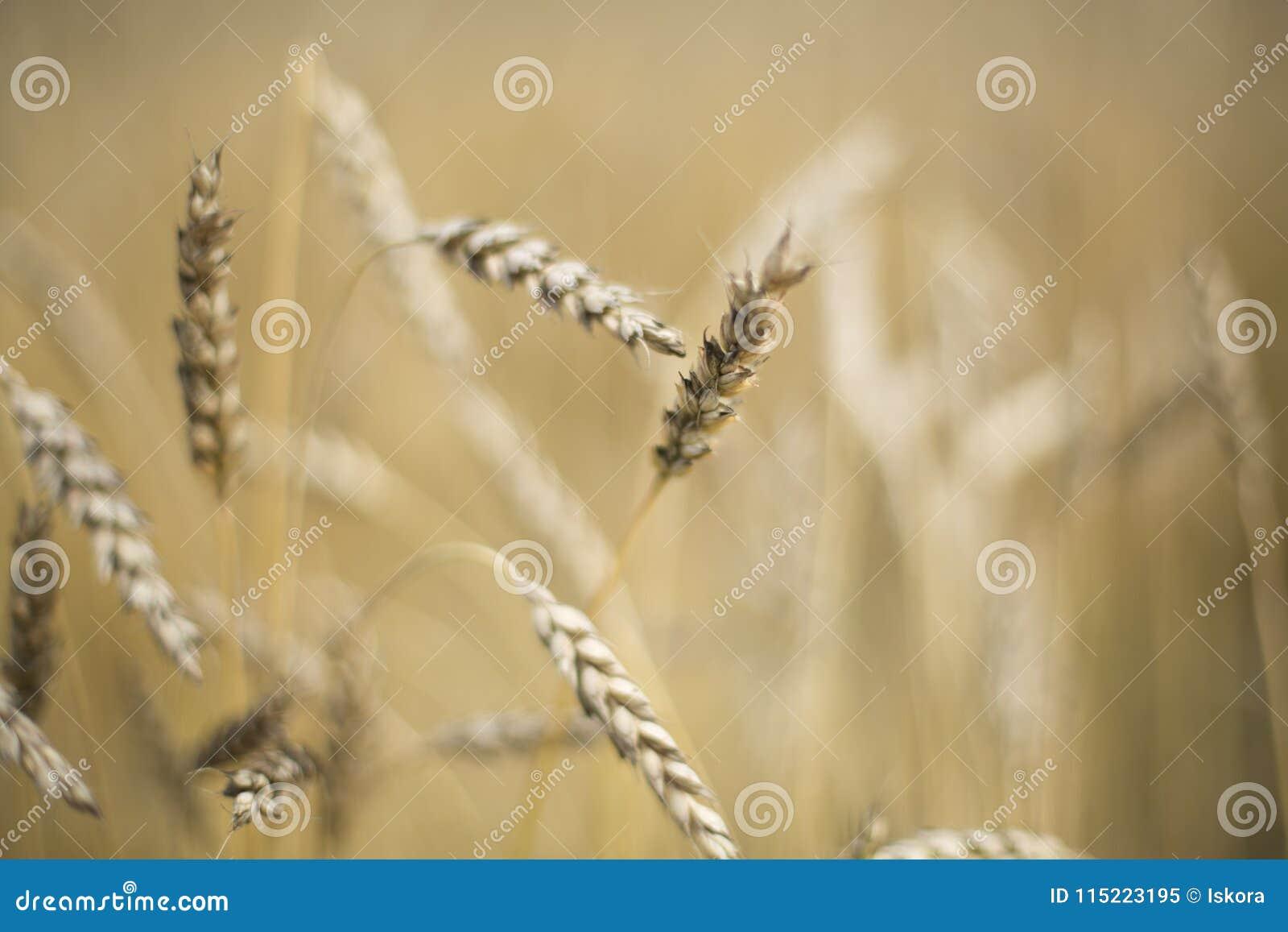 Aren van tarwe op het gebied