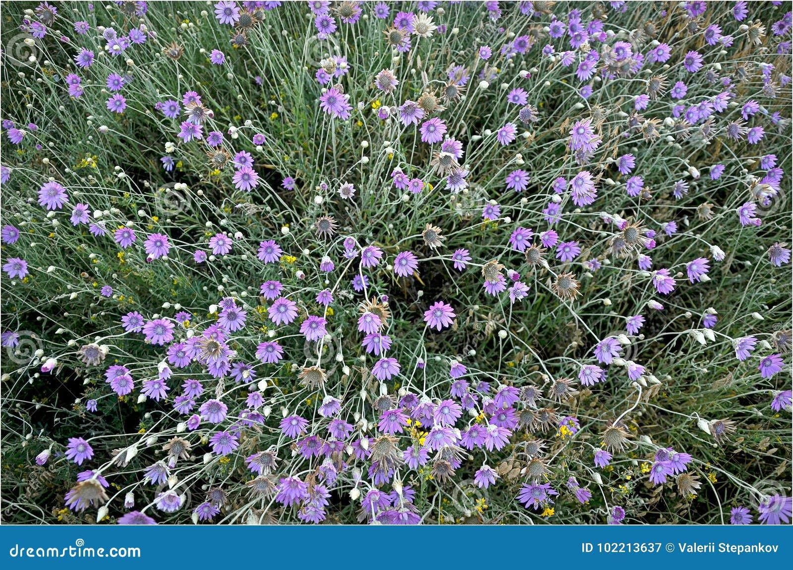 Arenarium del Helichrysum dei Wildflowers