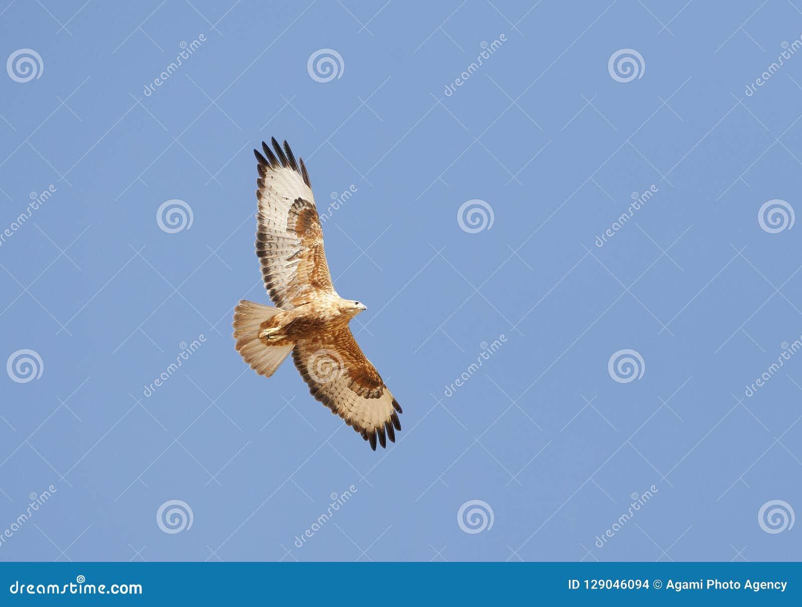 Arendbuizerd, Long-legged Buzzard, Buteo rufinus