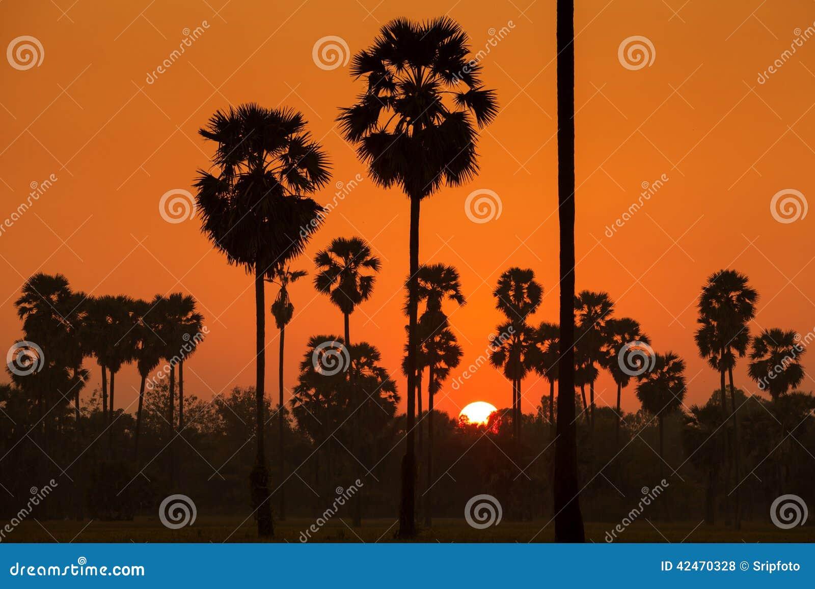 Arengapalme und Reis archiviert während des Sonnenuntergangs