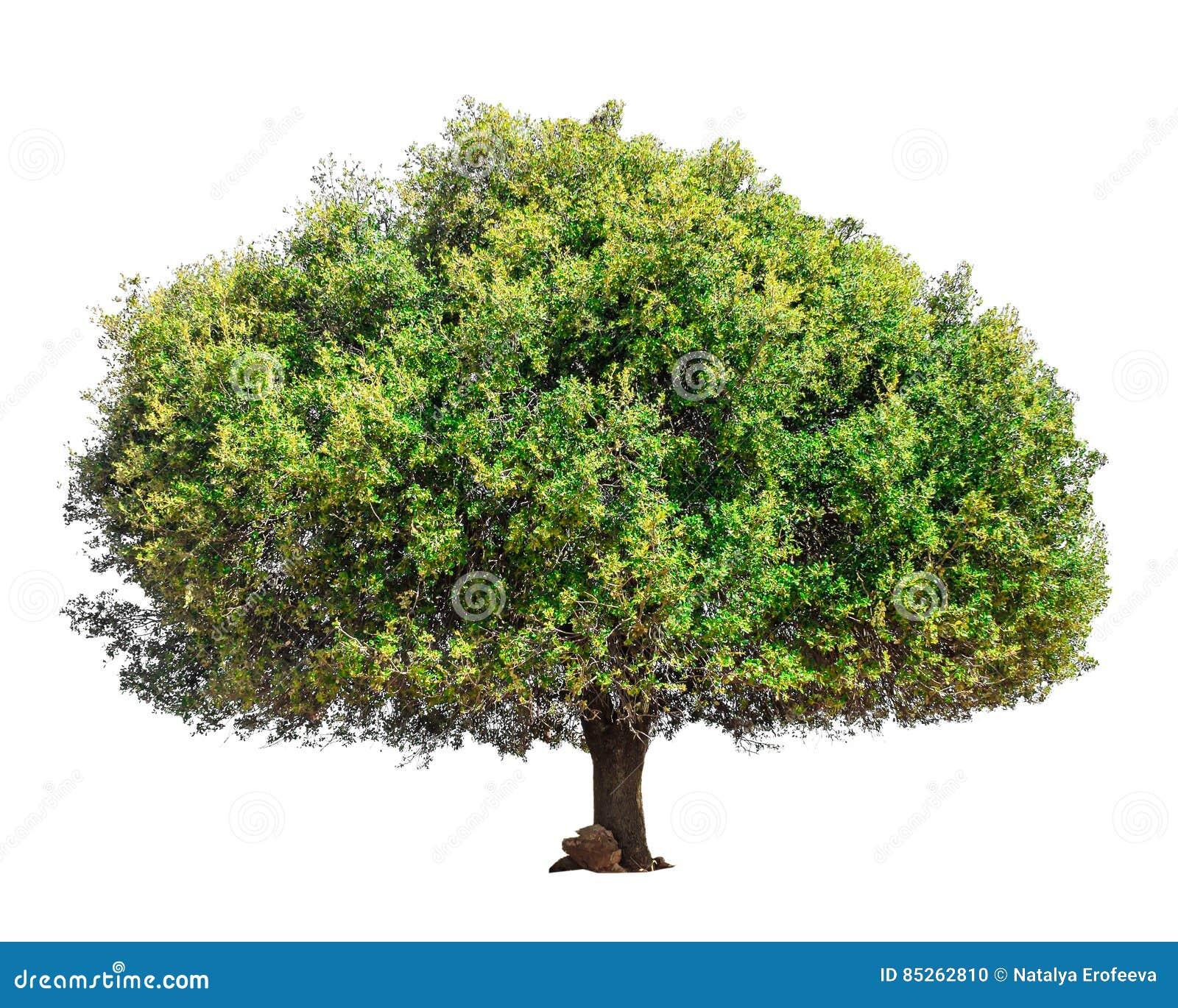 Argan drzewo odizolowywający