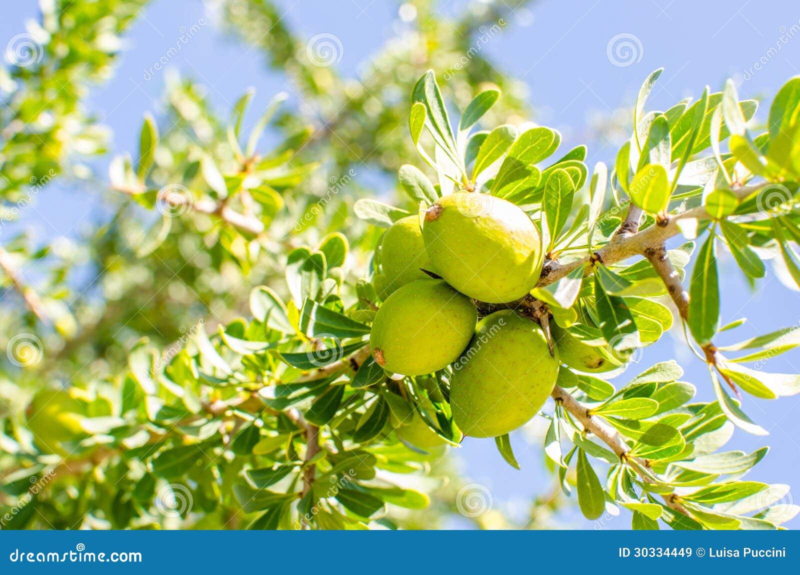 Argan Fruit On Tree Royalty Free Stock Images - Image ...