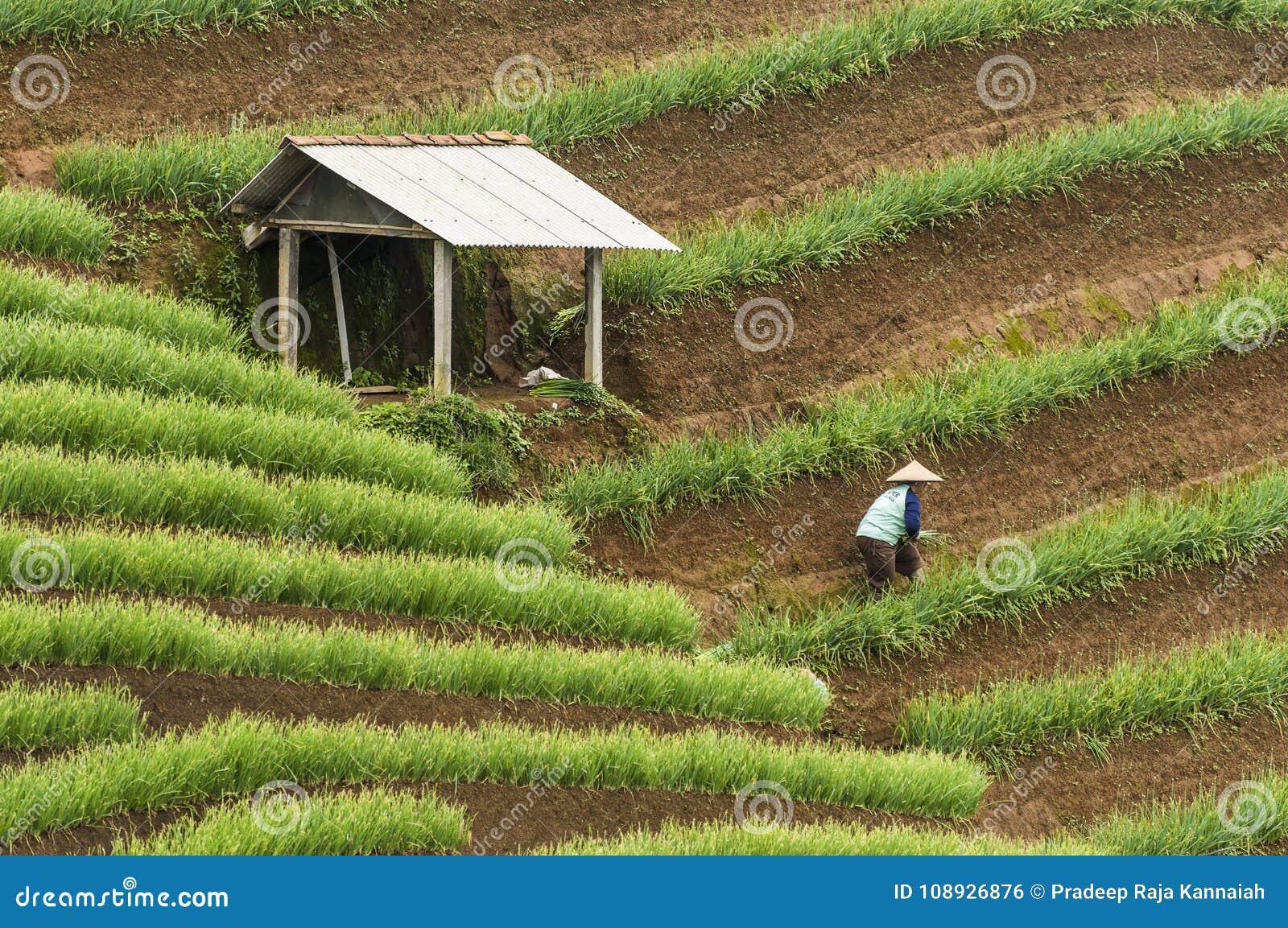 Argapura Ινδονησία 2018: Farmer που λειτουργεί στη φυτεία κρεμμυδιών τους το πρωί μετά από την ανατολή, δυτική Ιάβα, Ινδονησία