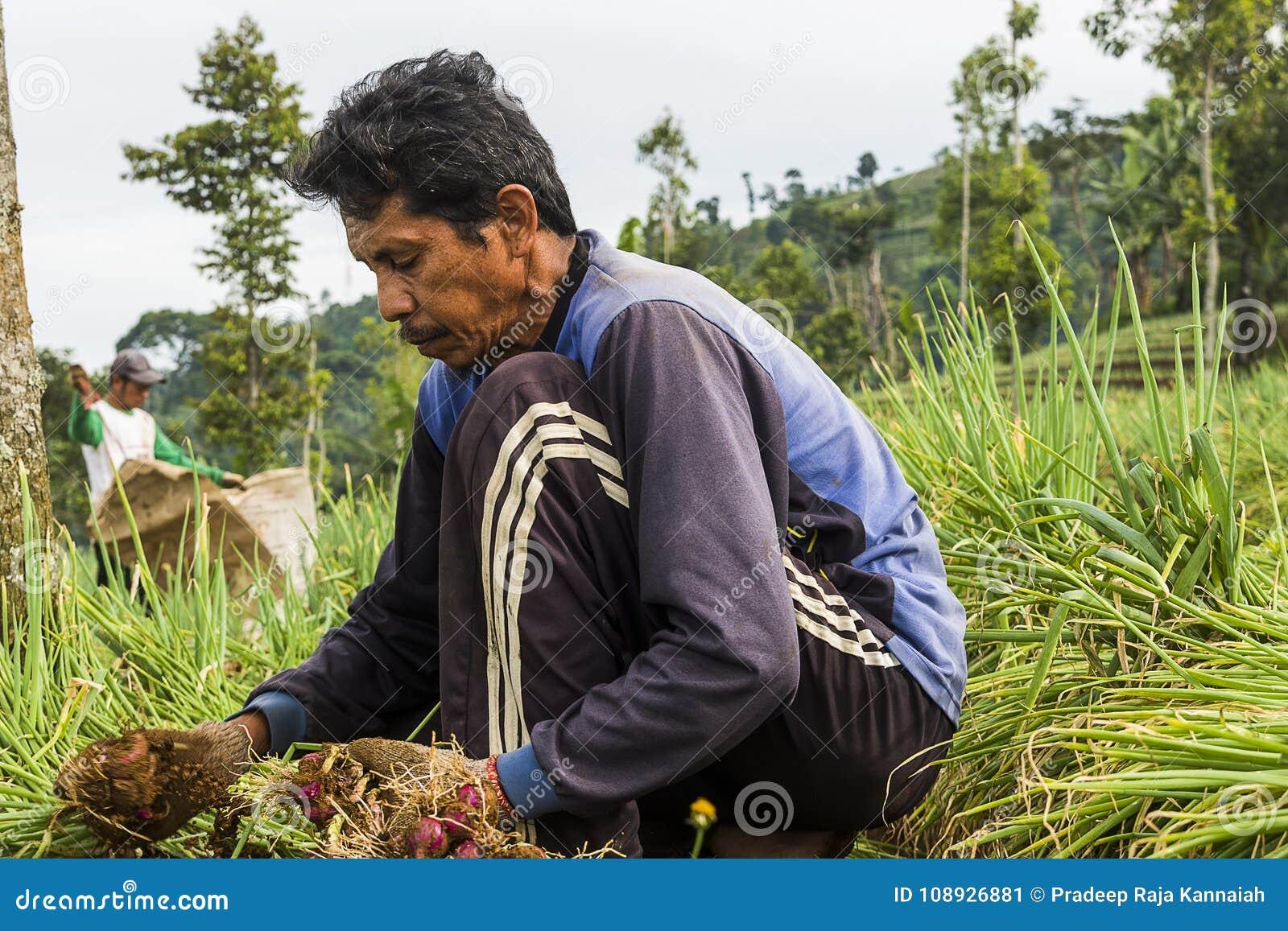 Argapura Индонезия 2018: Фермер работая в их плантации лука в утре после восхода солнца, западная Ява, Индонезия