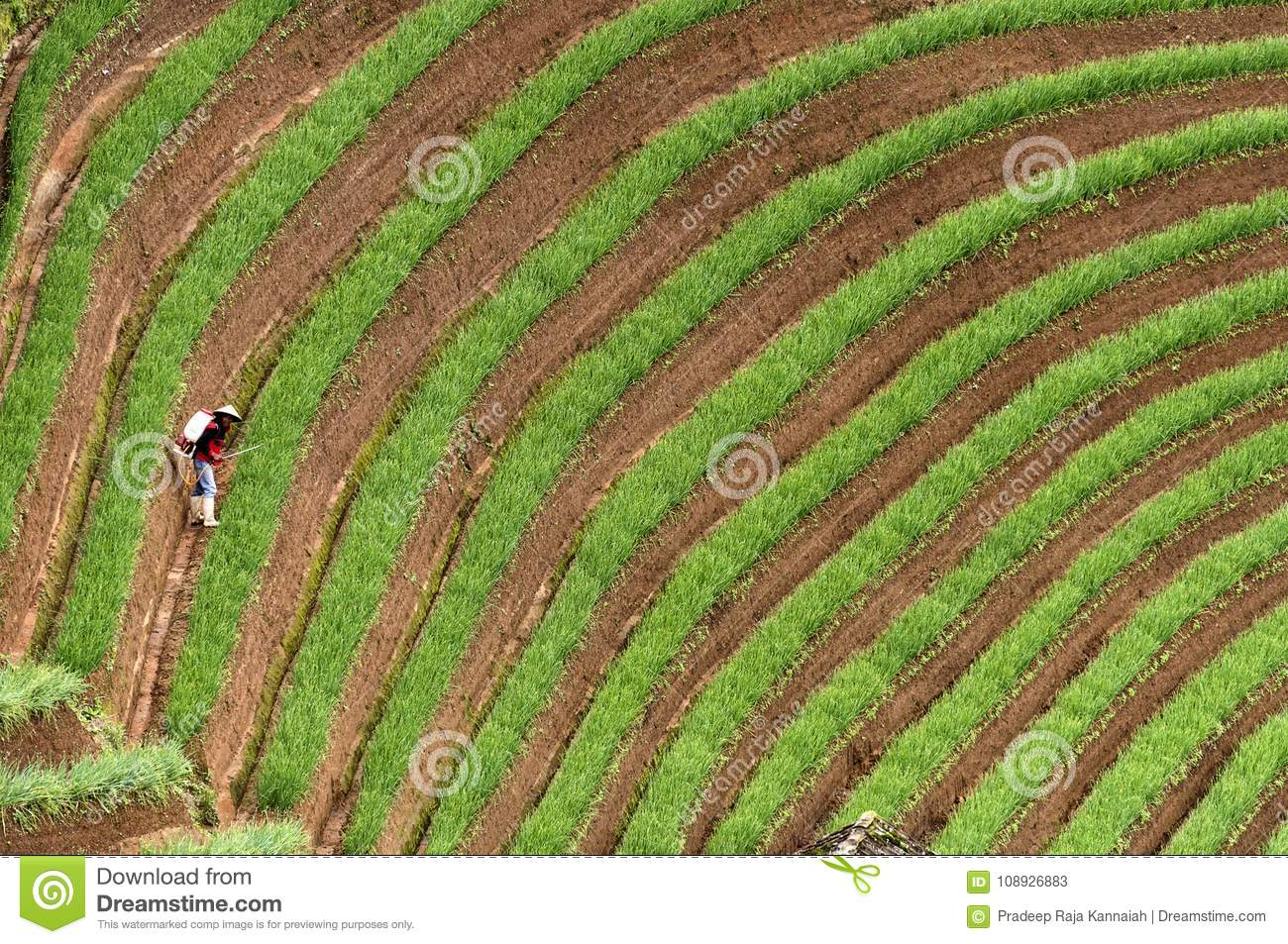 Argapura Indonesia 2018: Farmer working in their onion plantation in the morning after sunrise, West Java, Indonesia
