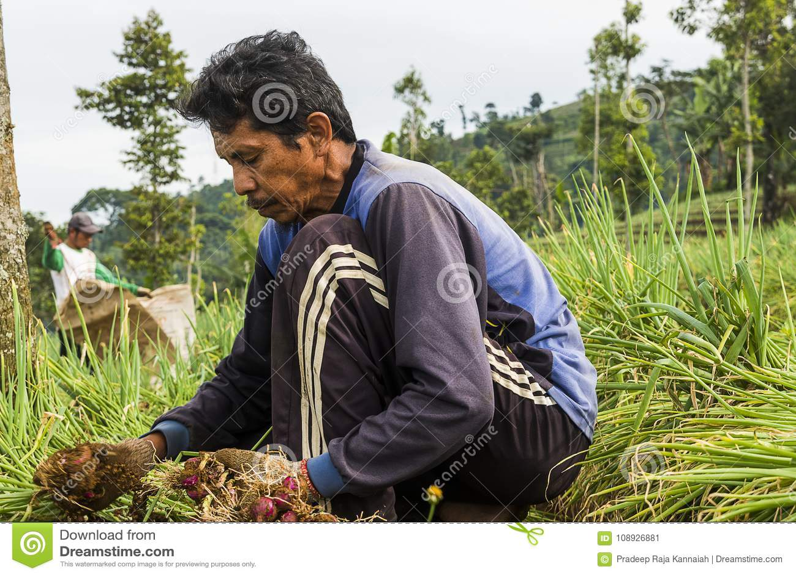 Argapura Indonezja 2018: Średniorolny działanie w ich cebulkowej plantaci w ranku po wschodu słońca, Zachodni Jawa, Indonezja