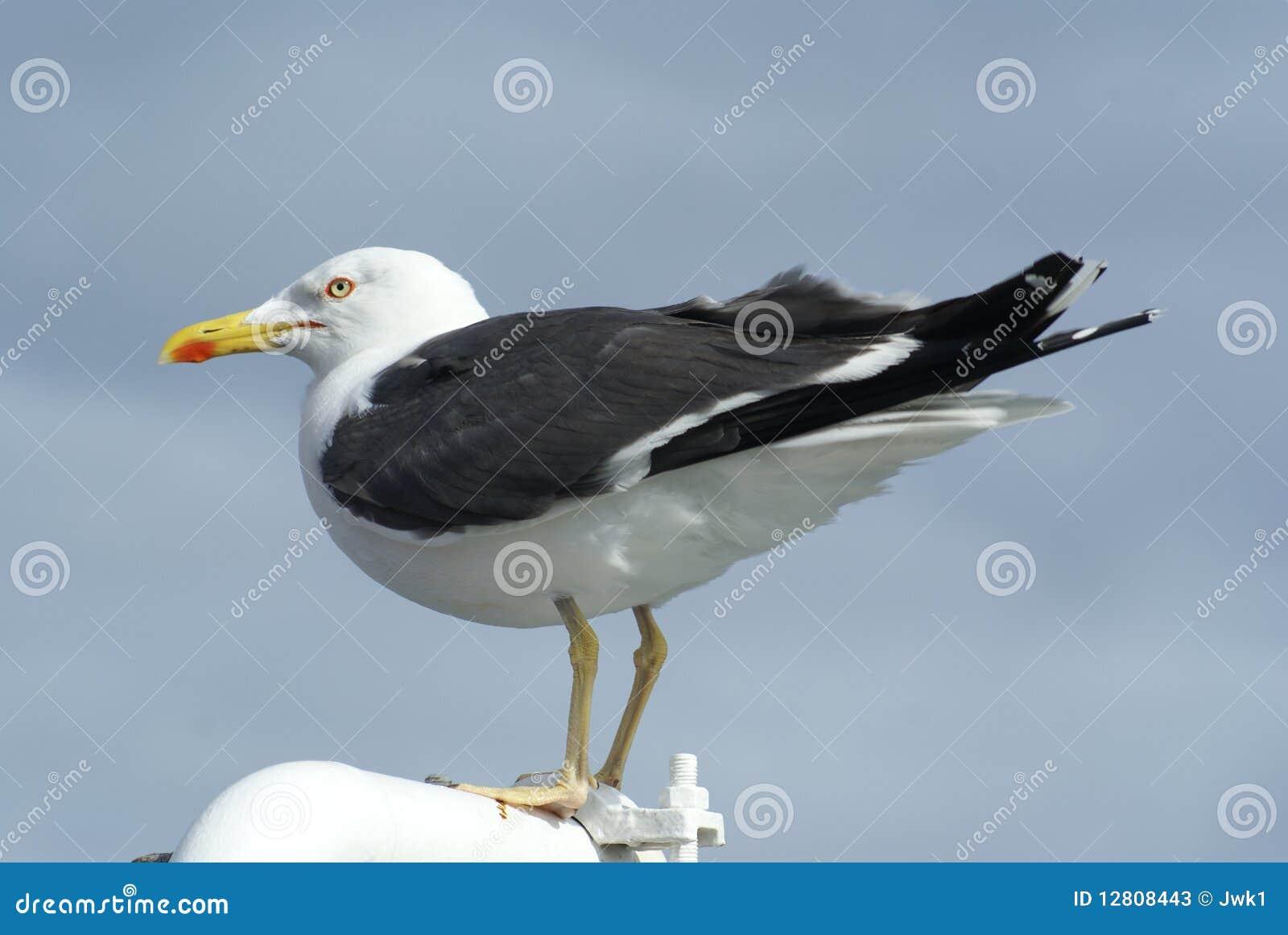 Argentatus da gaivota/Larus de arenques