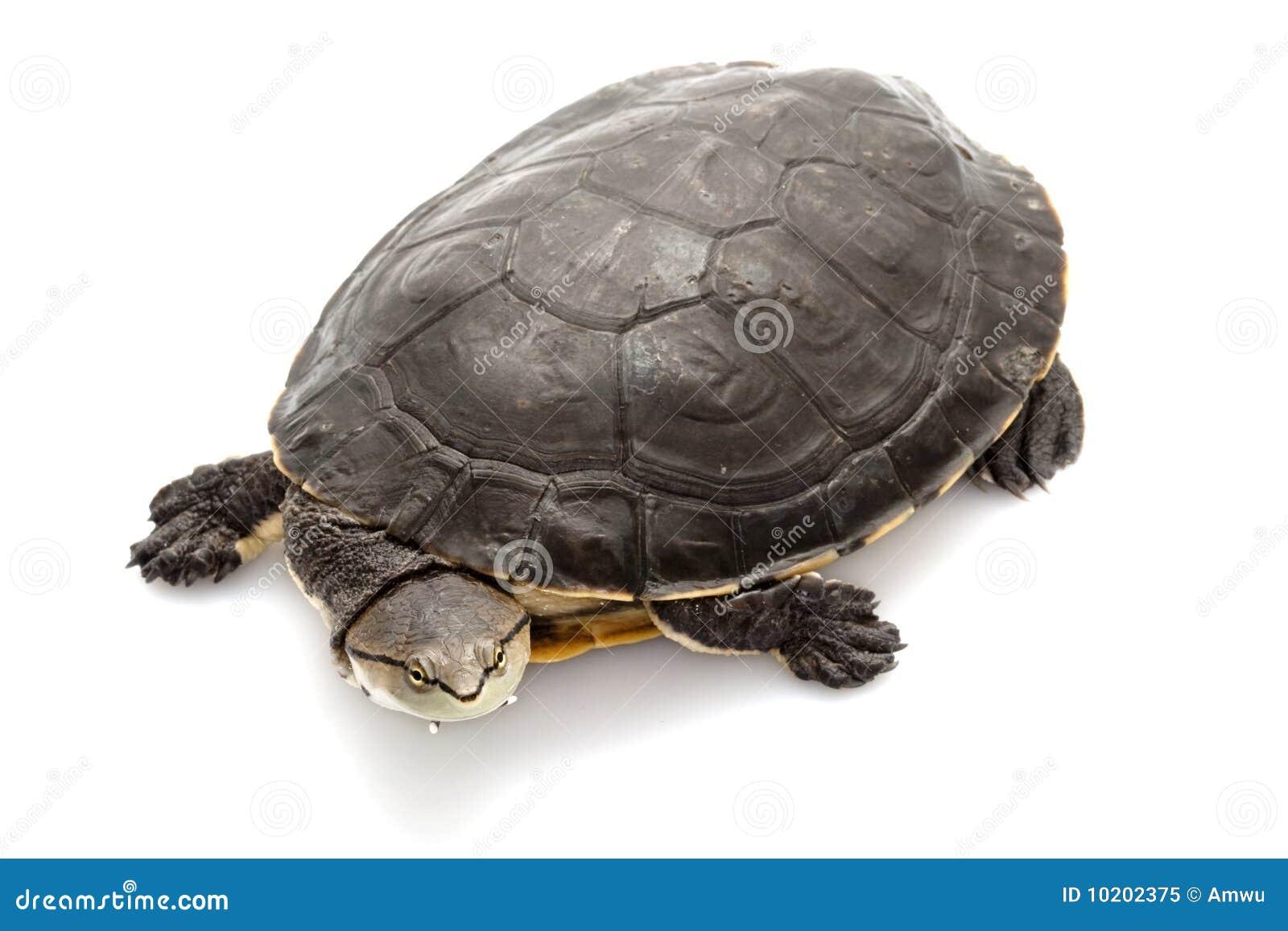 Argentine sidenecksköldpadda