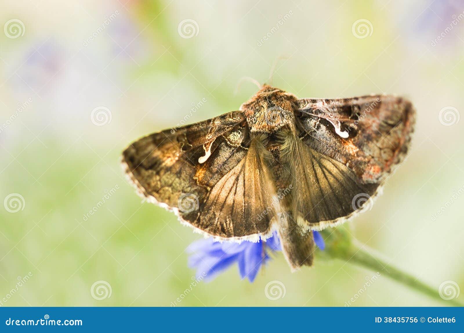 Argento migratore Y del lepidottero