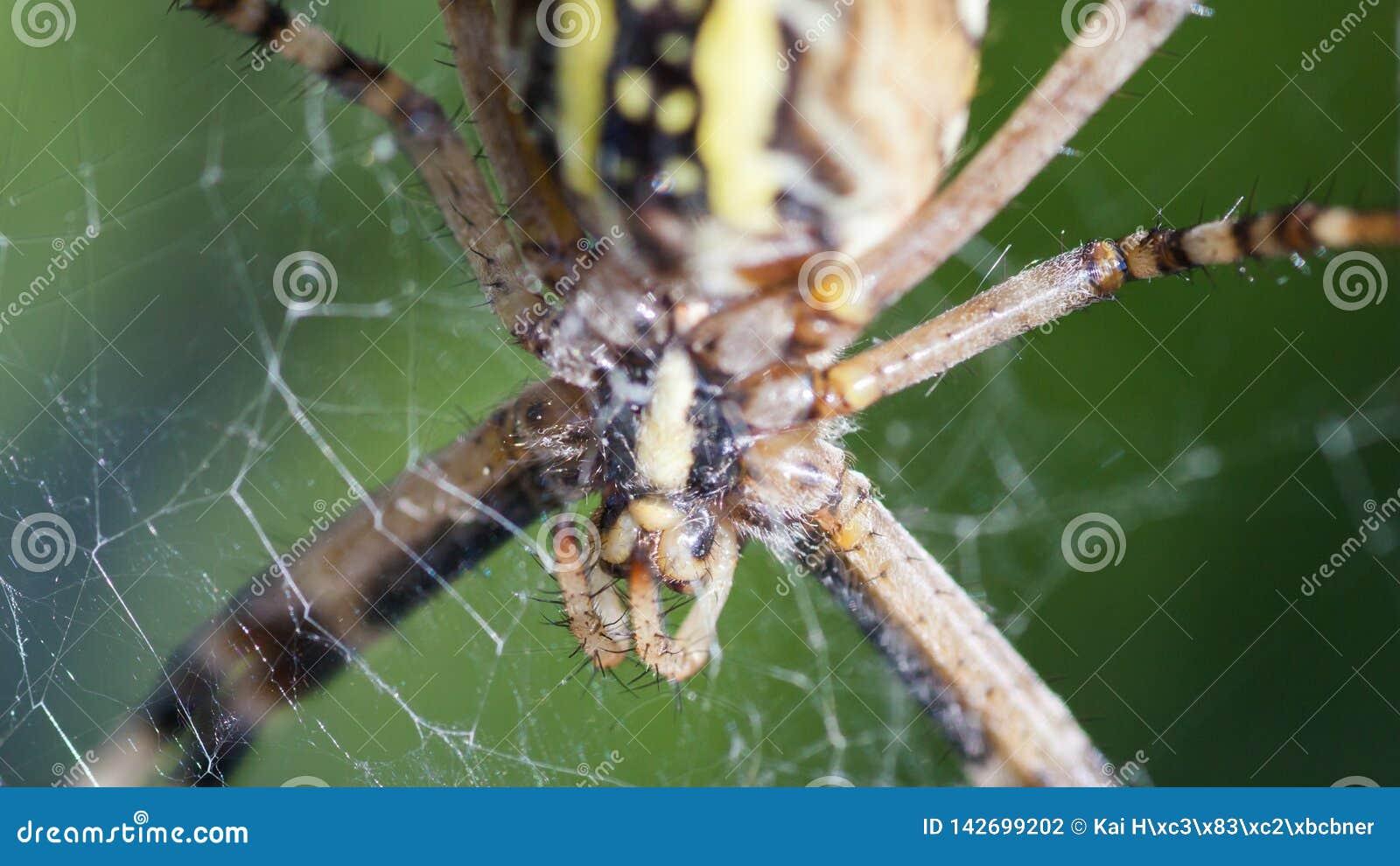 Argiope Bruennichi, of de wesp-spin, close-up in Web die op voedsel wachten