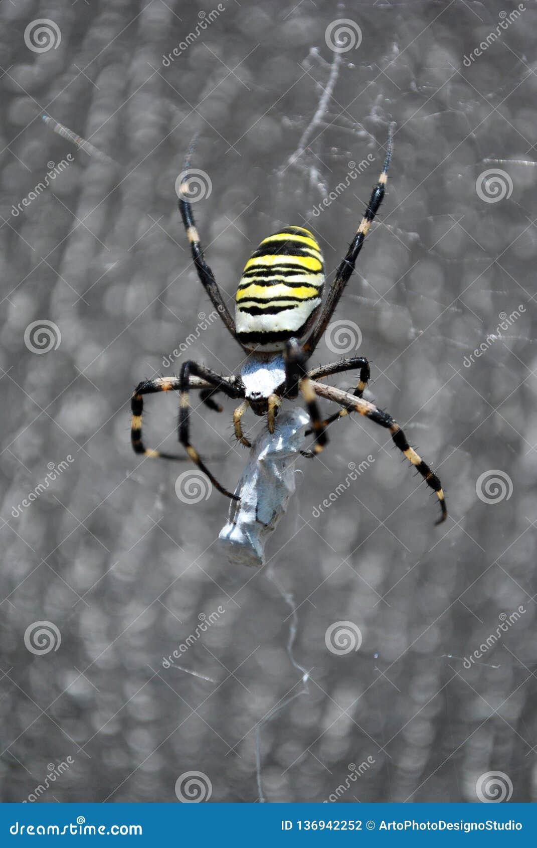 Argiope bruennichi osy pająka kobieta w sieć warkoczach i mieniu swój ofiara z pajęczynami