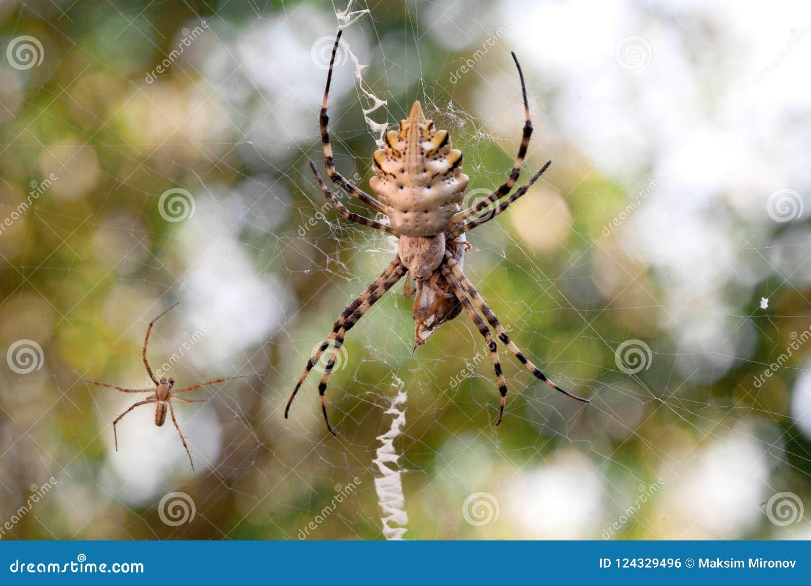 Argiope Lobata Araneidae Stock Photo Image Of Macrophotography