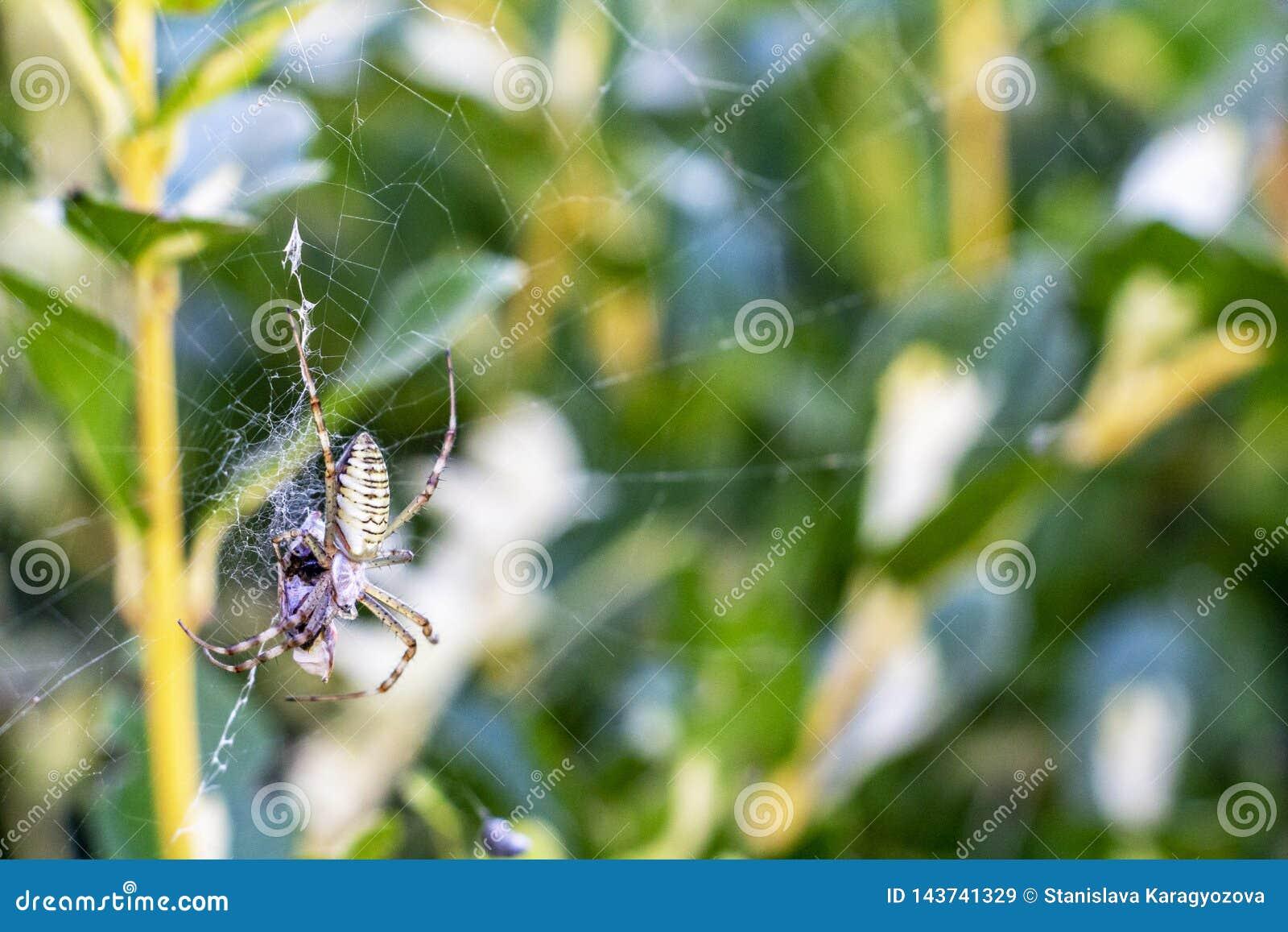 Argiopespindel med ett rov