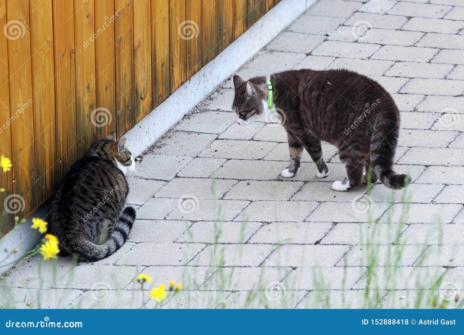 Argumentera för två manligt katter Nötkreatur slåss bland hankatter