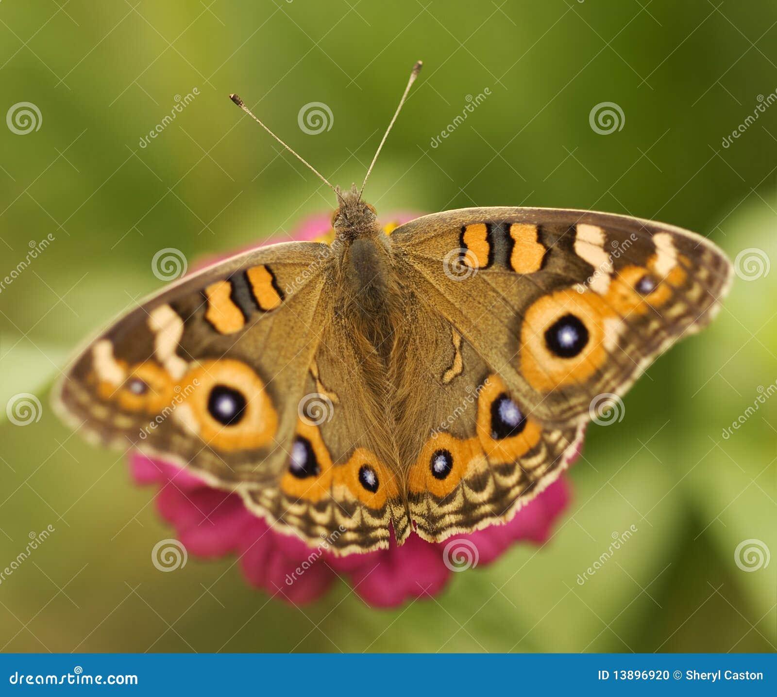 Argus australijski motyli junonia łąki villida